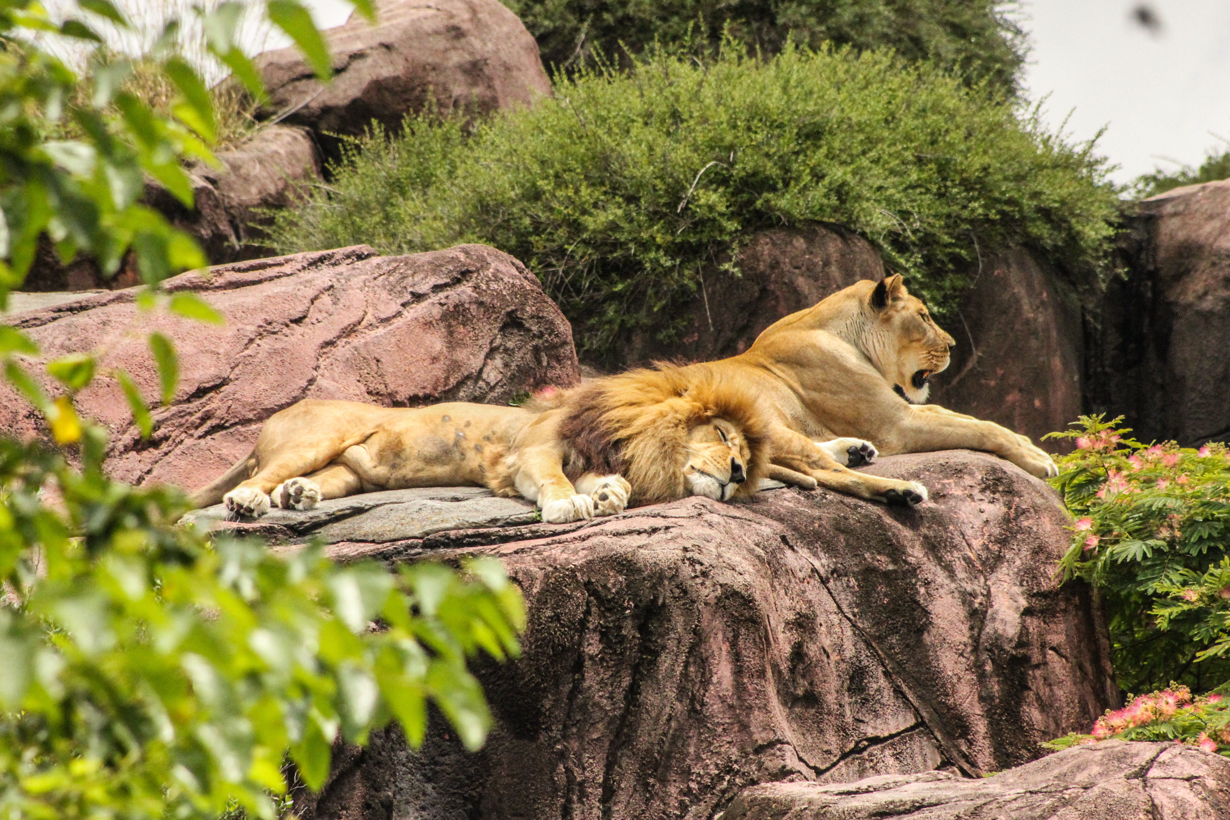 A lion and lioness sleep on a rock in their habitat