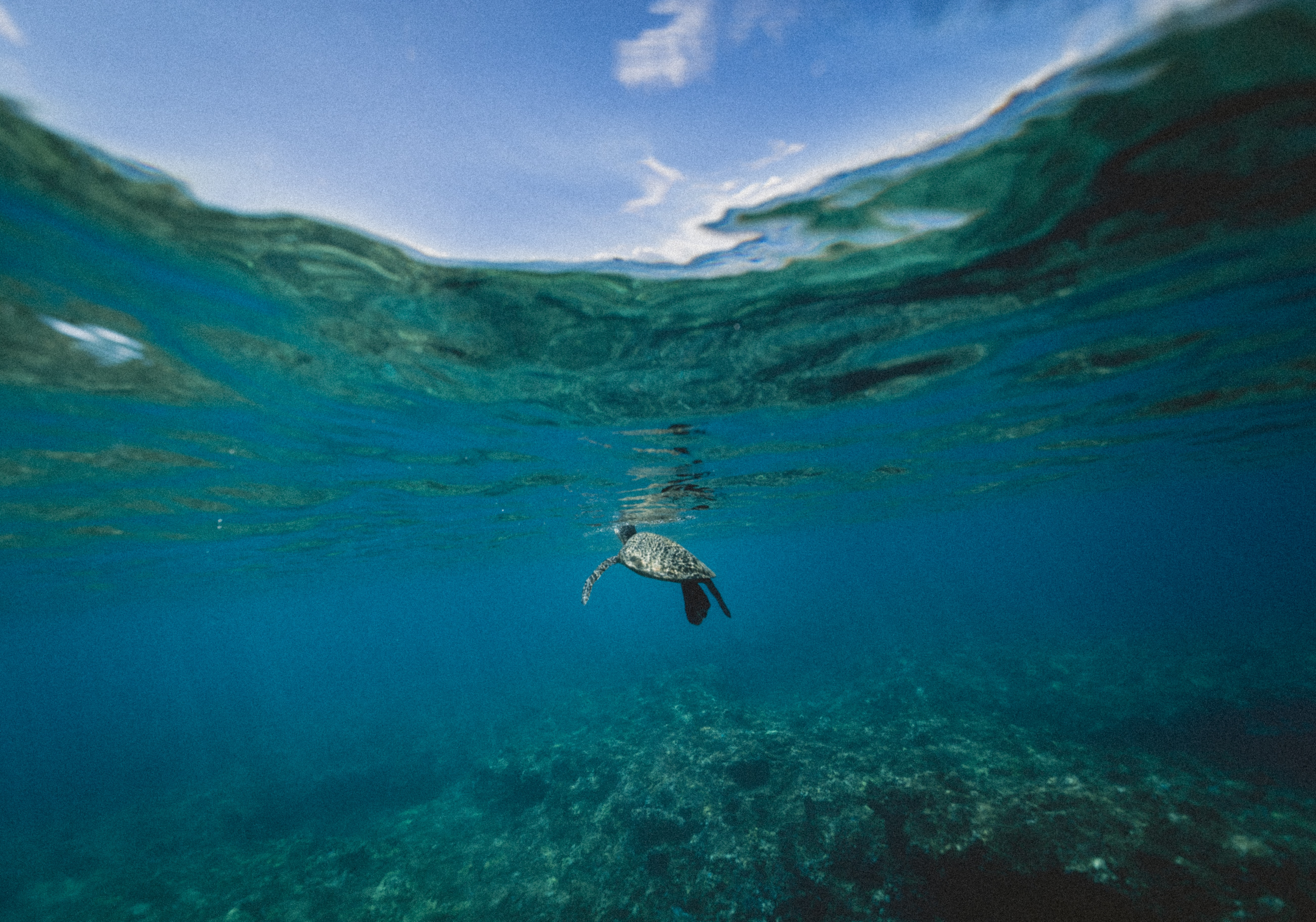 The view of a sea turtle poking its head above the ocean from underwater