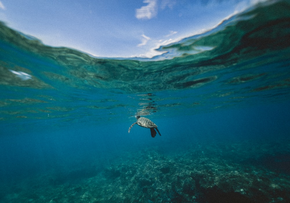 turtle swimming underwater during daytime