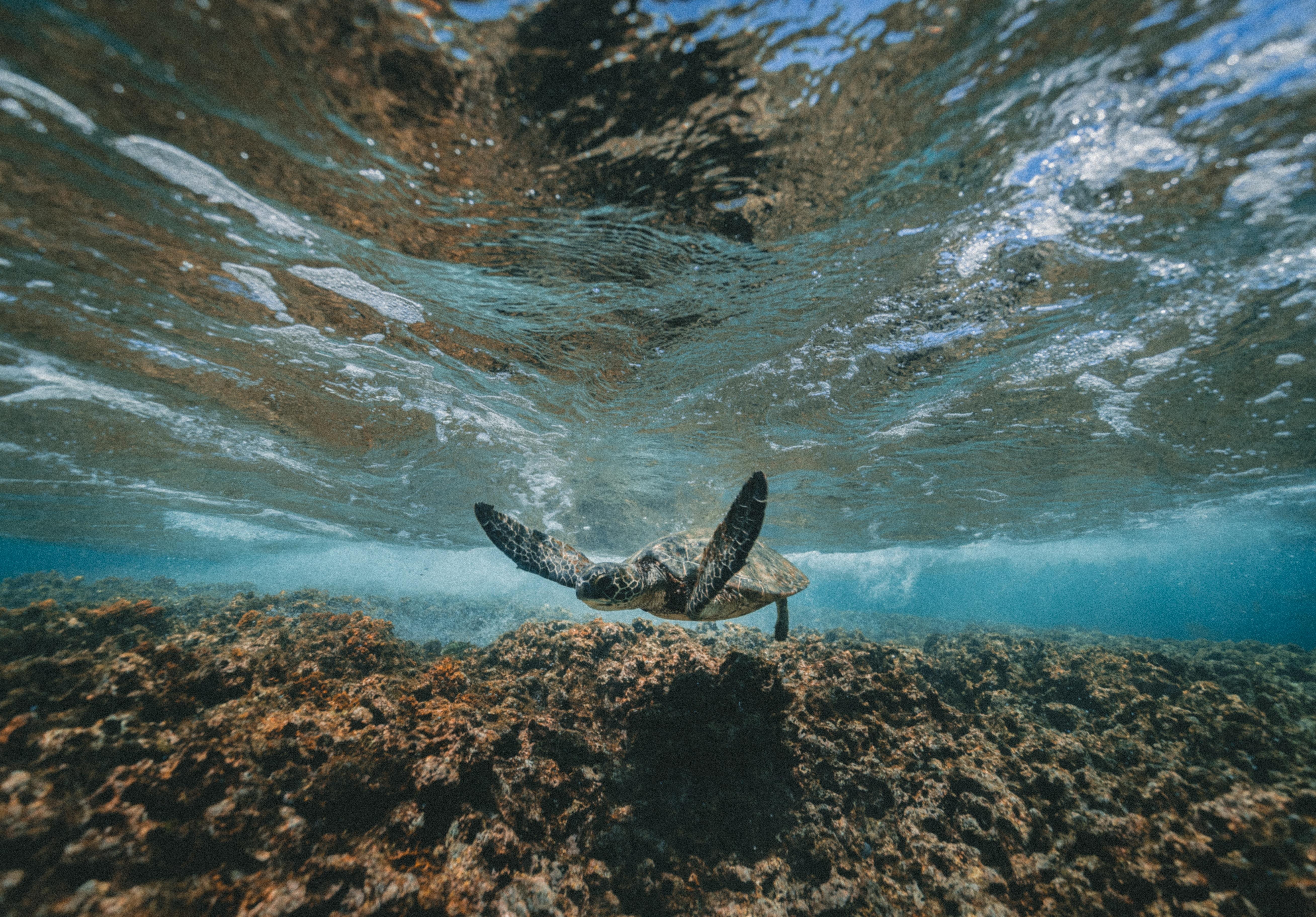 underwater photography of turtle