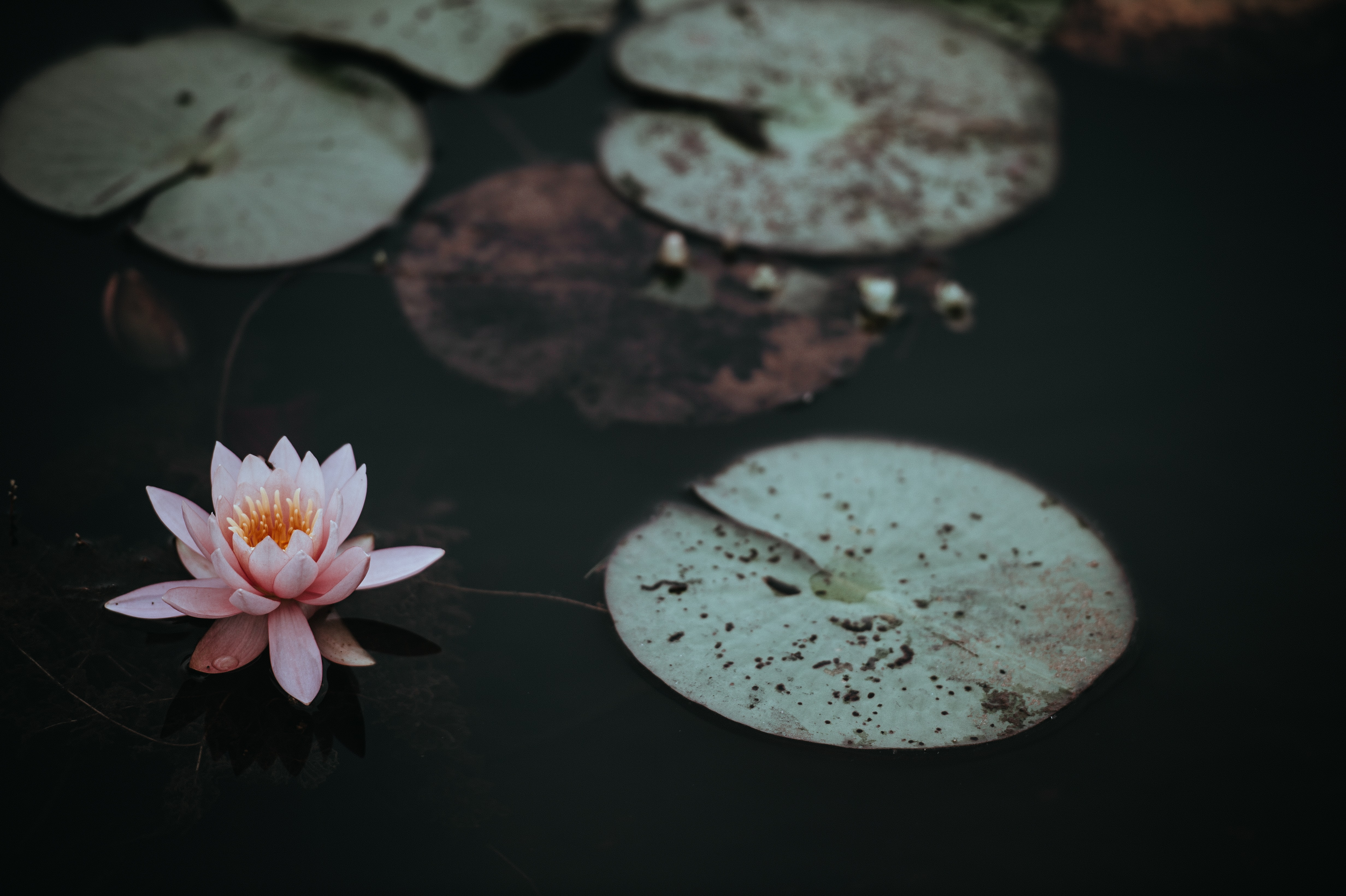 A pink water lily next to lily pads on the dark surface of a pond