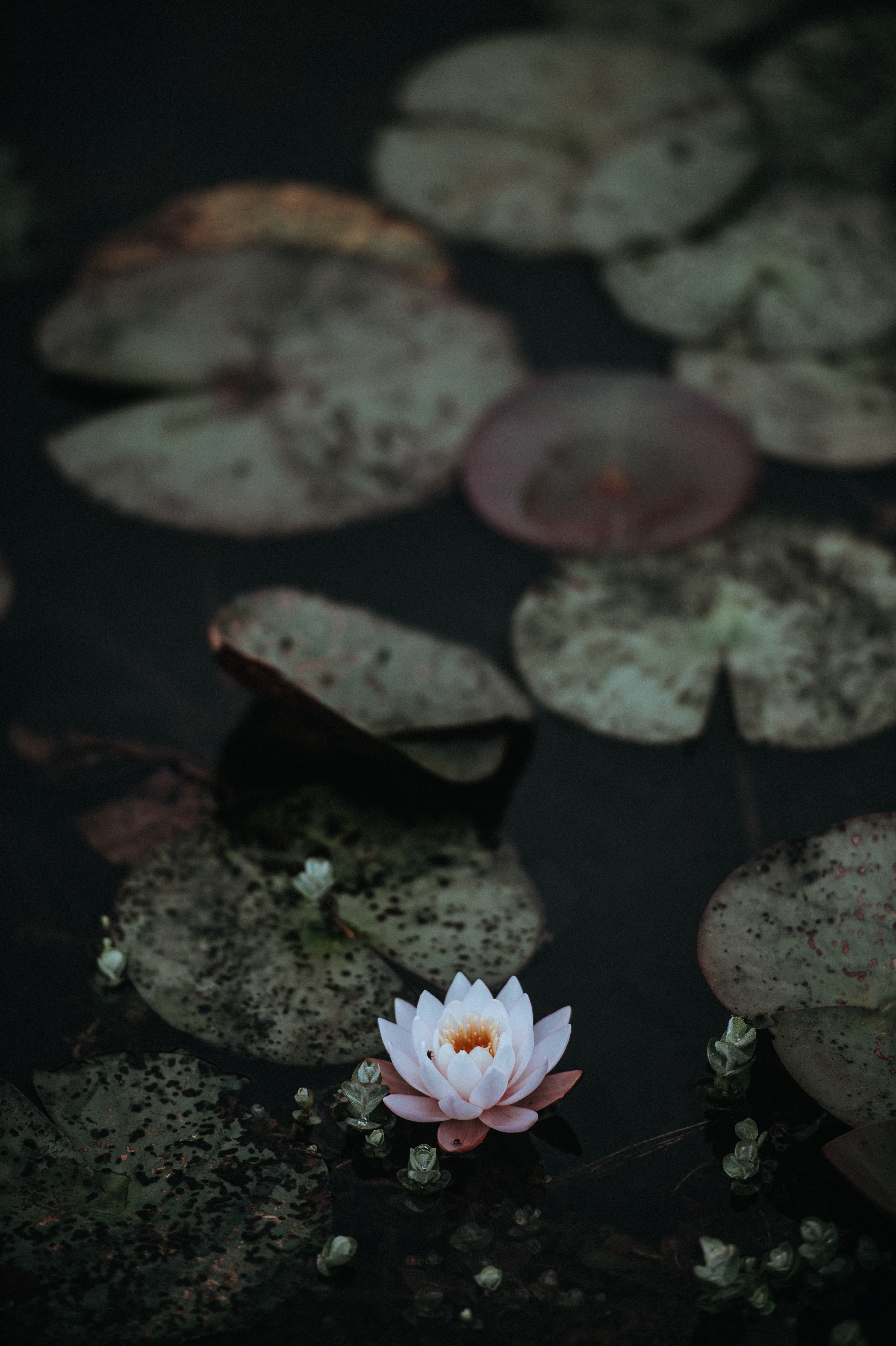 A single white water lily next to lily pads on the surface of water