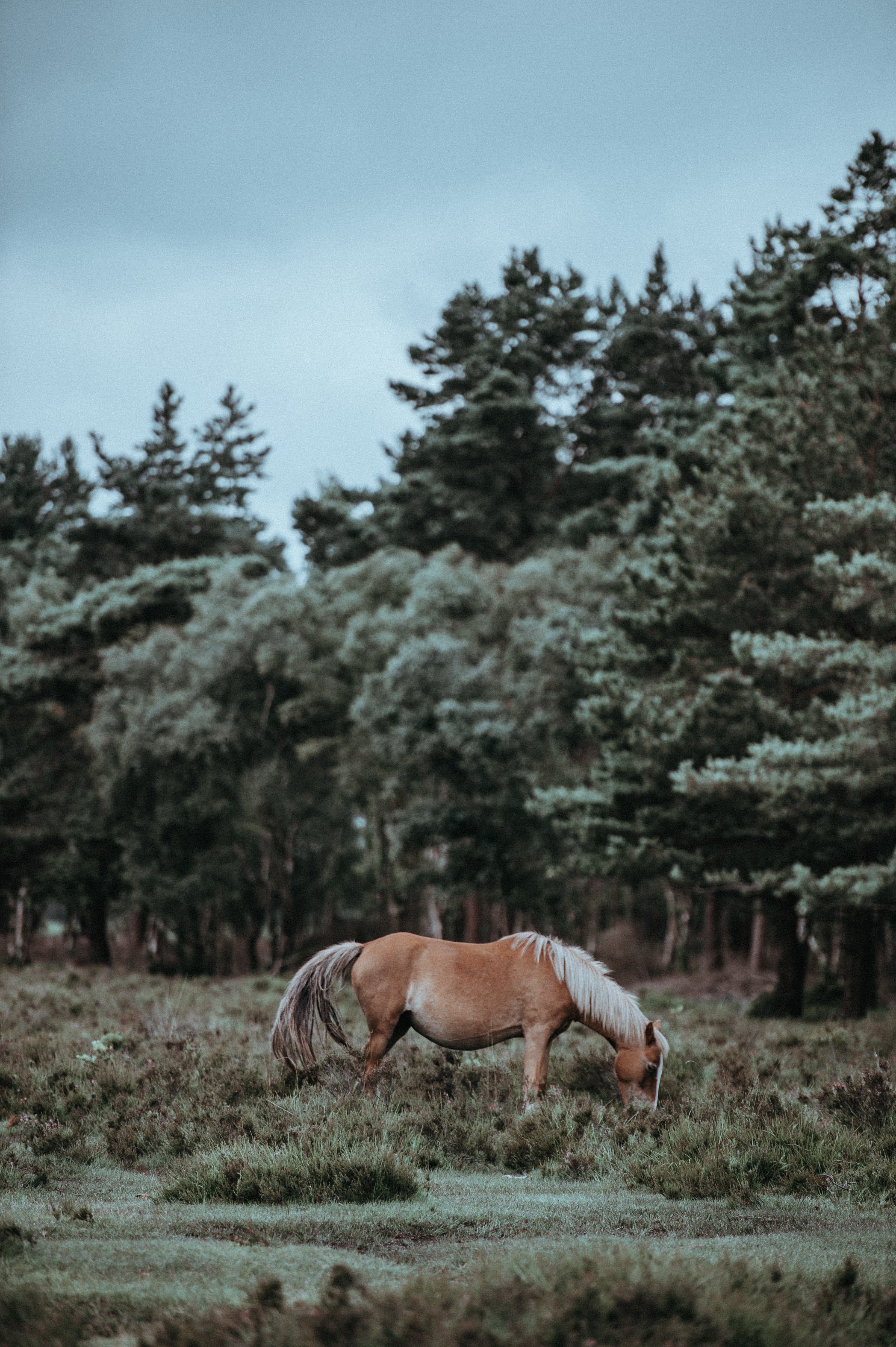 A light chestnut with a flaxen mane grazing in the grass near coniferous trees