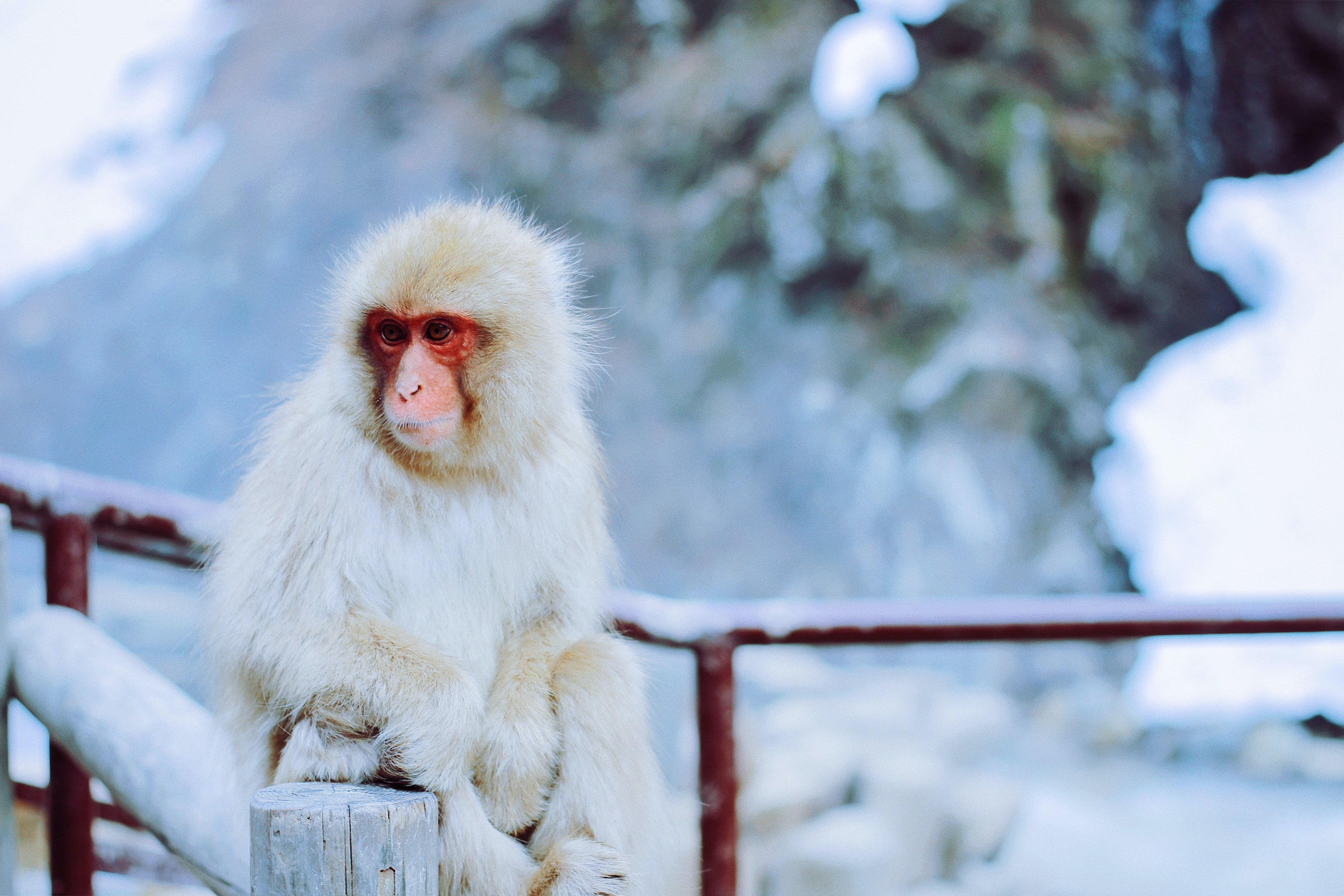 Monkey with white hair and red face surrounded by a snowy landscape and red, snow-covered rails