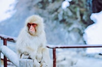 white and red monkey sitting on brown wooden fence in snow terrain during daytime