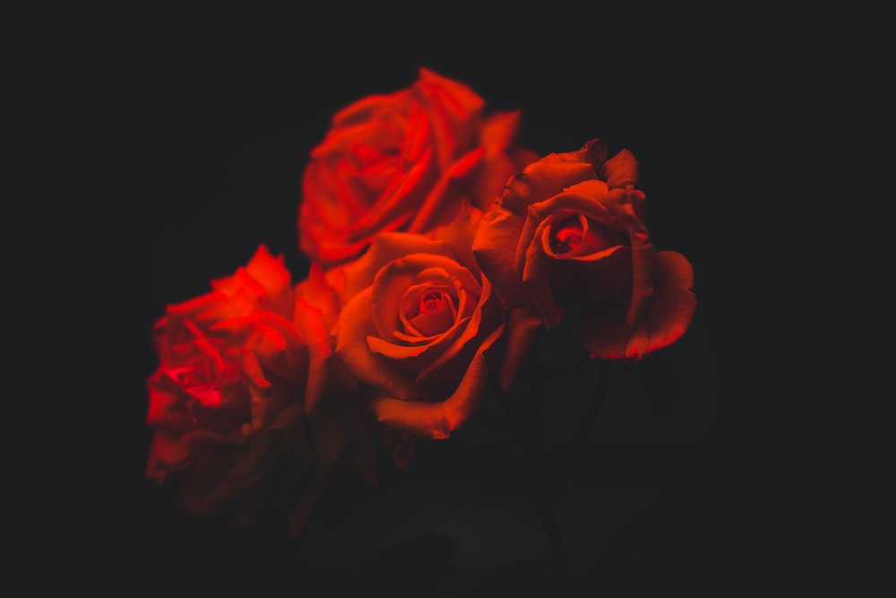 four red roses flowers
