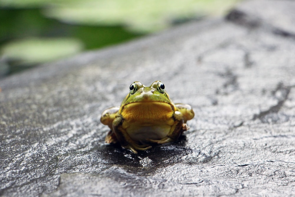 green frog standing on grey surface