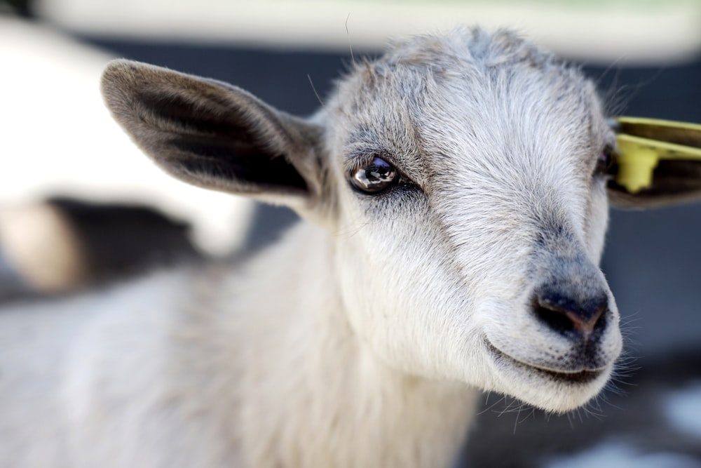 close photography of white goat