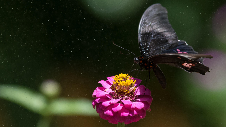 A black butterfly on a bright purple flower