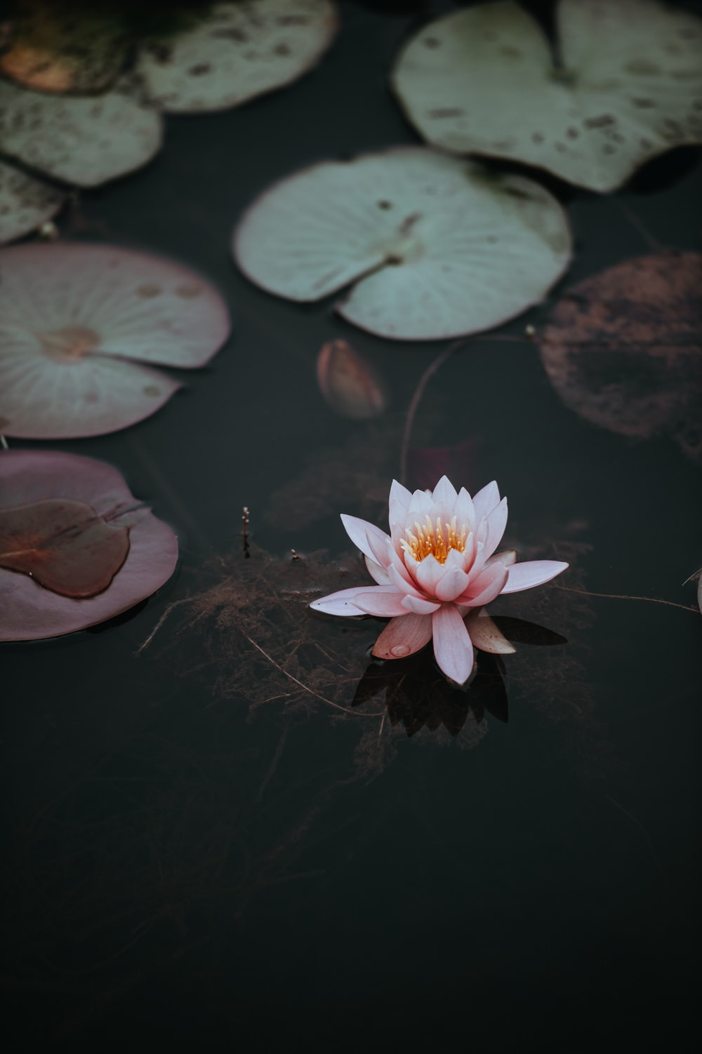 Pond pictures download free images on unsplash a pink water lily next to lily pads on the dark surface of a pond izmirmasajfo