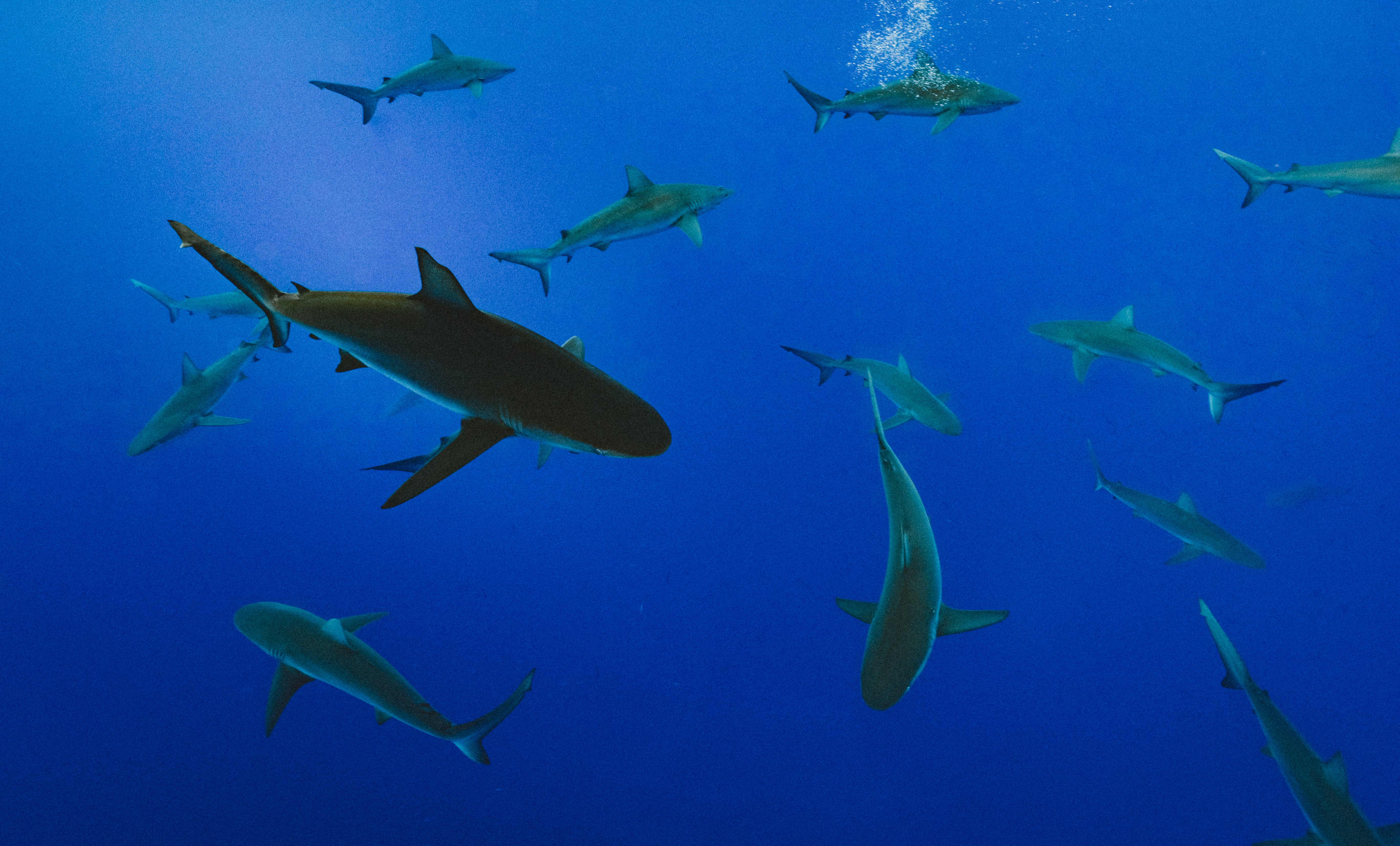 Multiple sharks swimming underwater in clear blue sea