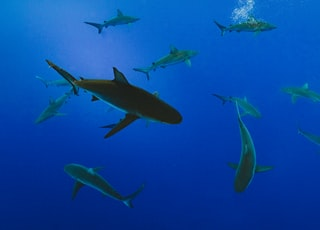 underwater photography of school of gray shark