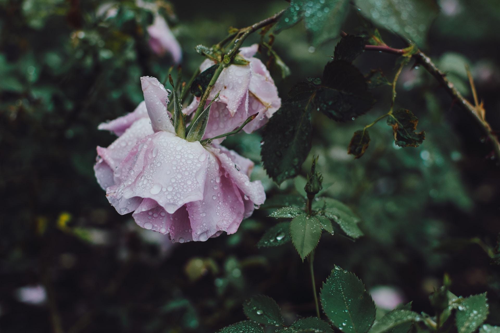 closeup photography of pink petaled flower