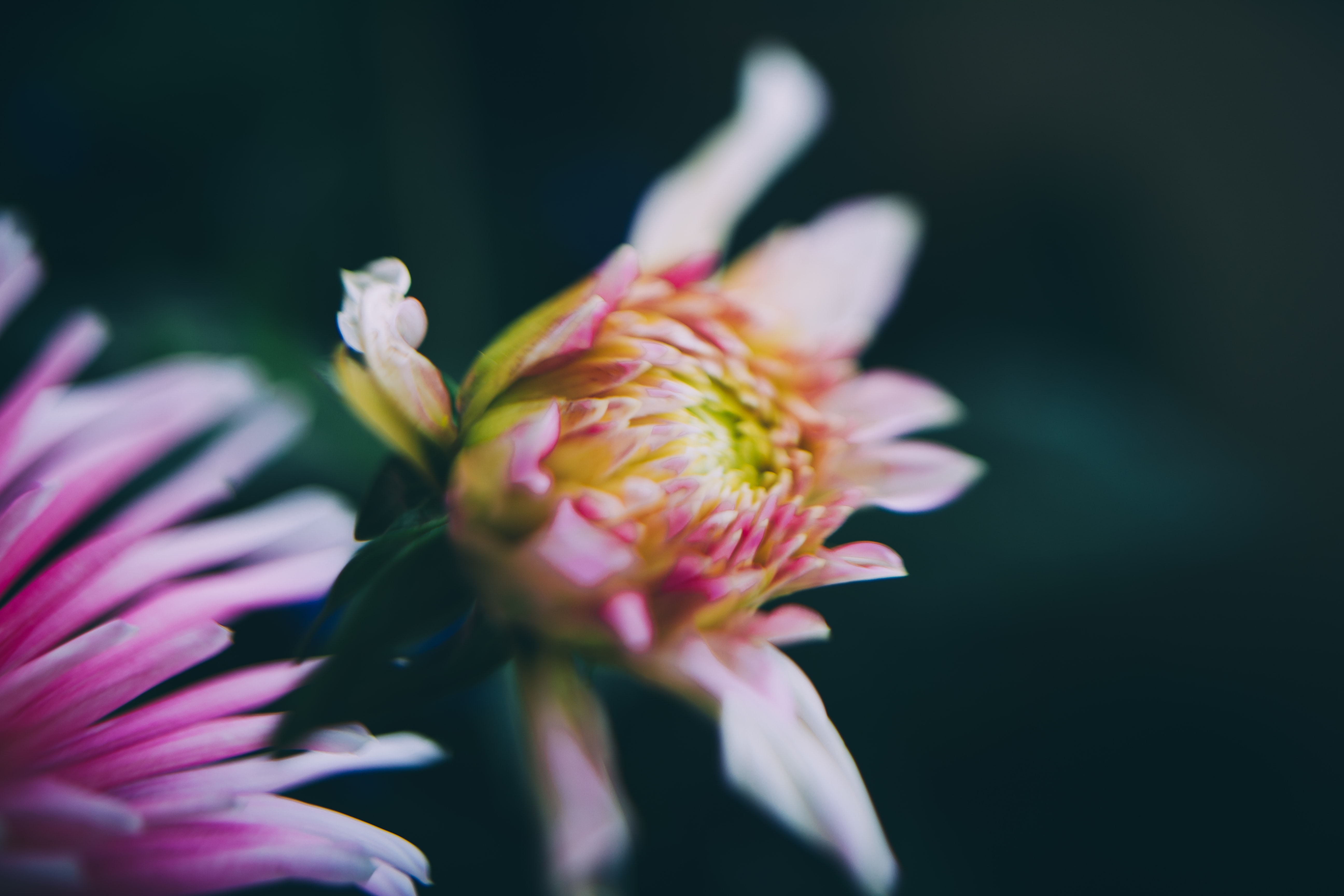 A blurry shot of a half-closed white and pink flower against a dark background