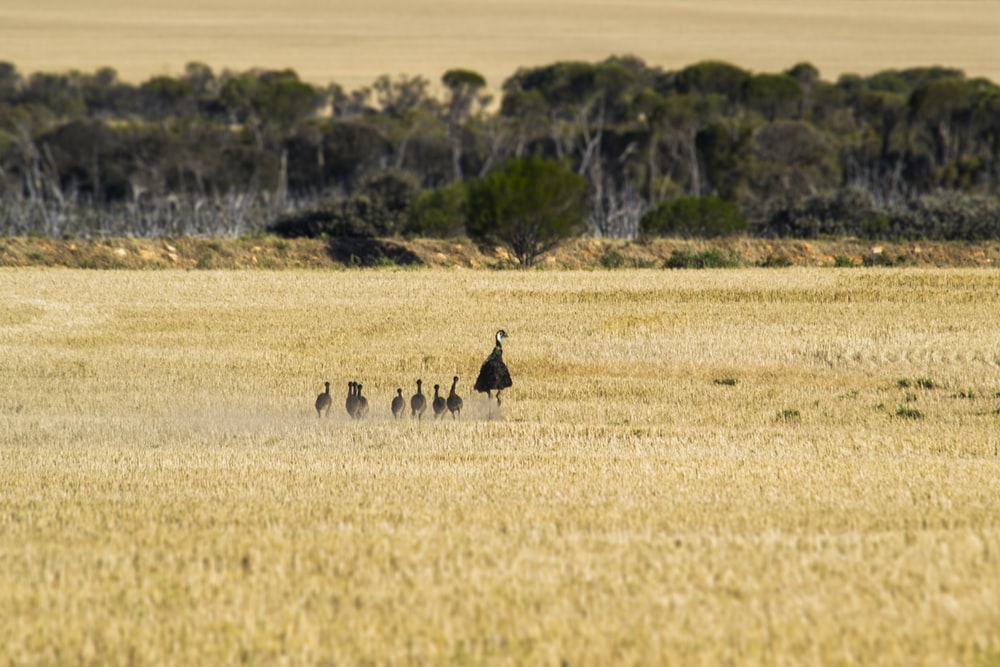 emu with chicks on brown field during daytime