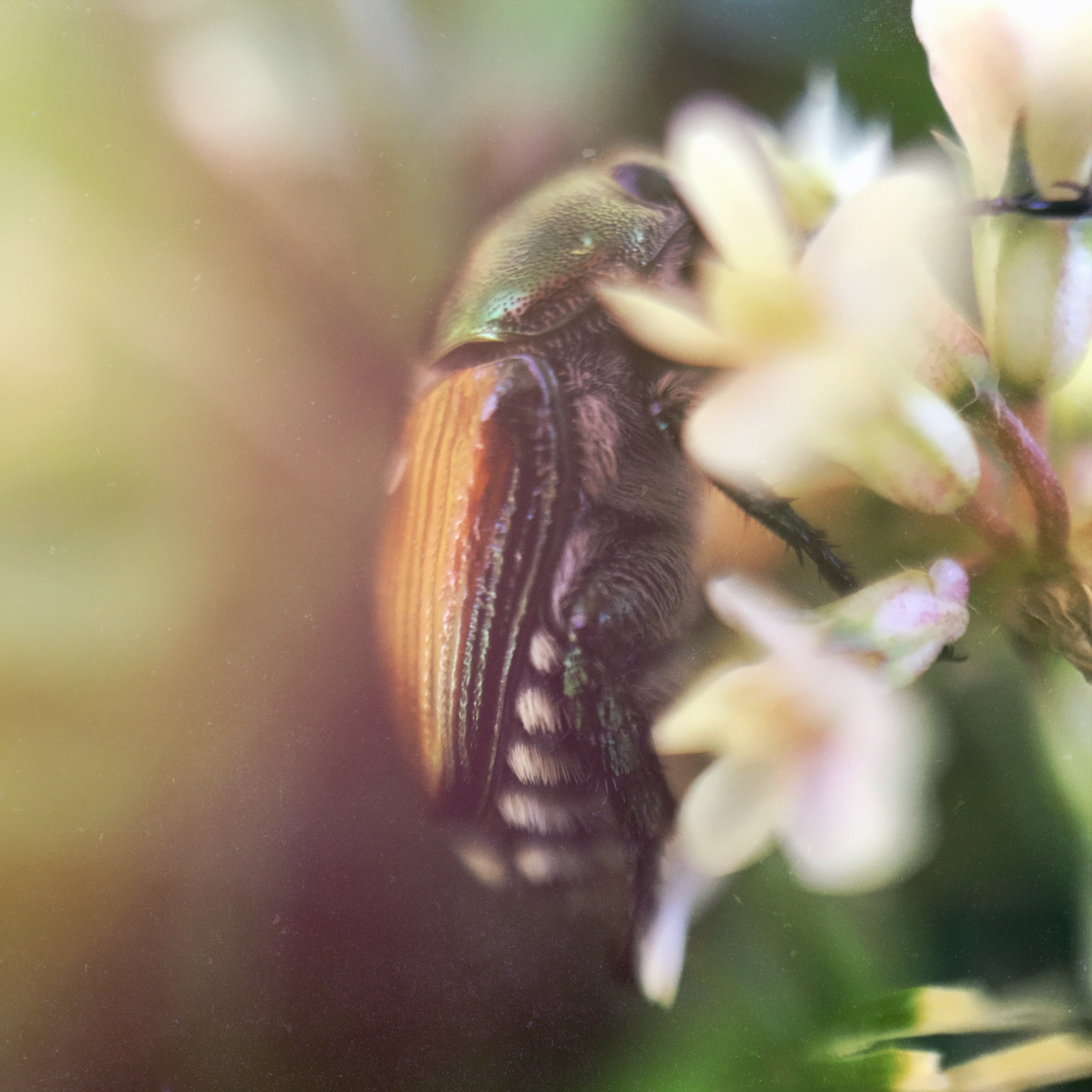 A macro shot of a shelled insect feeding on white flowers