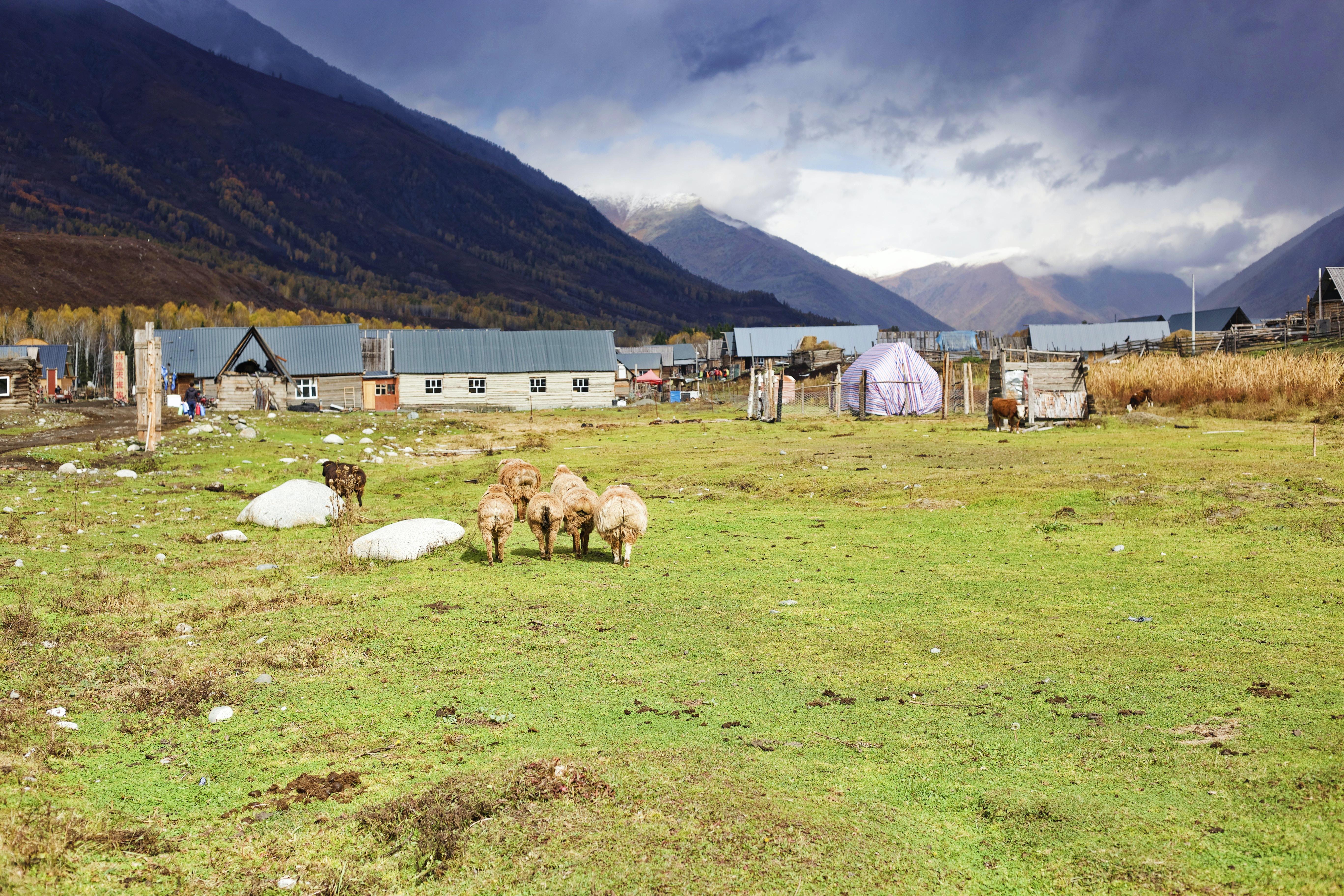six sheep's on green grass ground