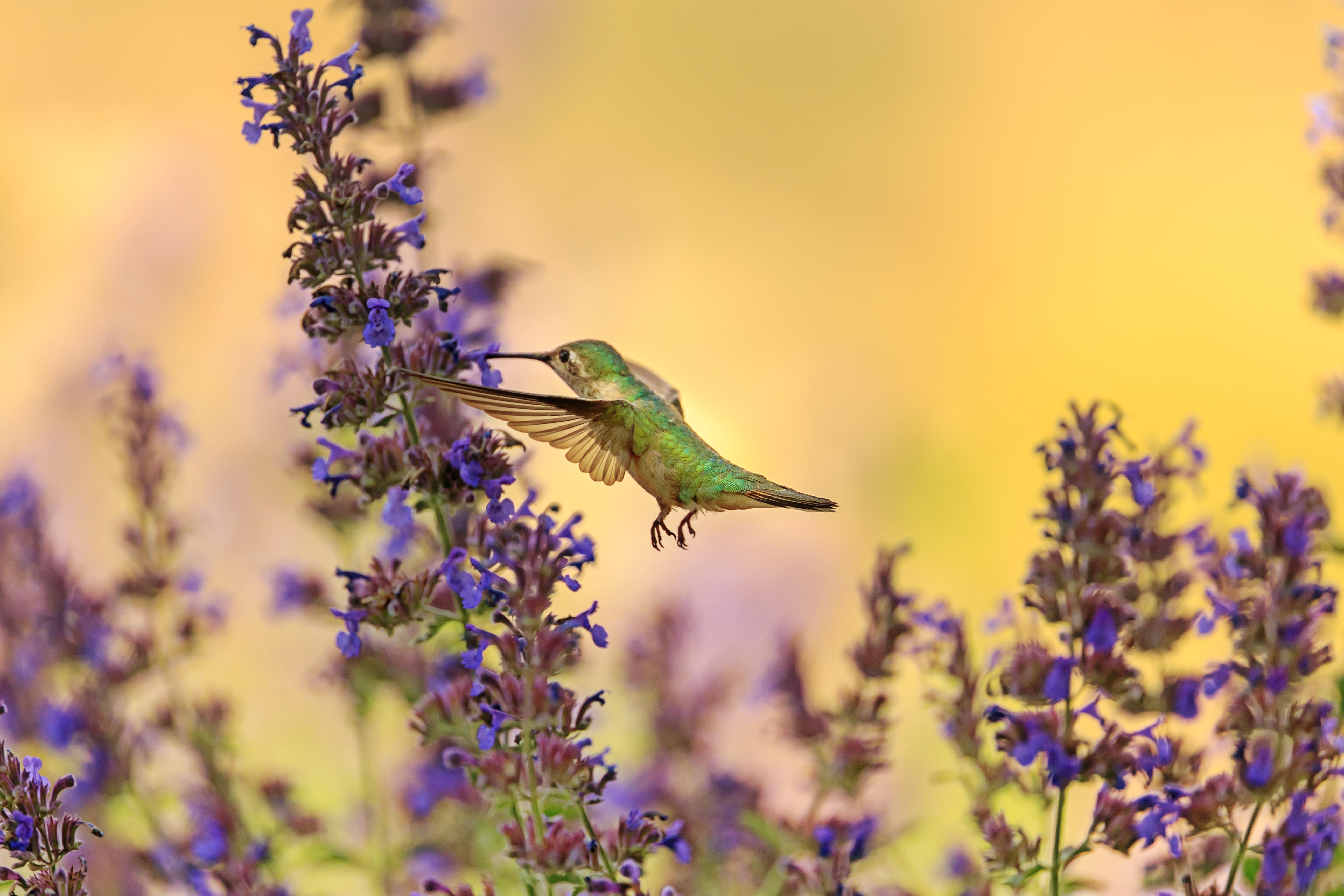 A hummingbird feeding on purple flowers mid-flight