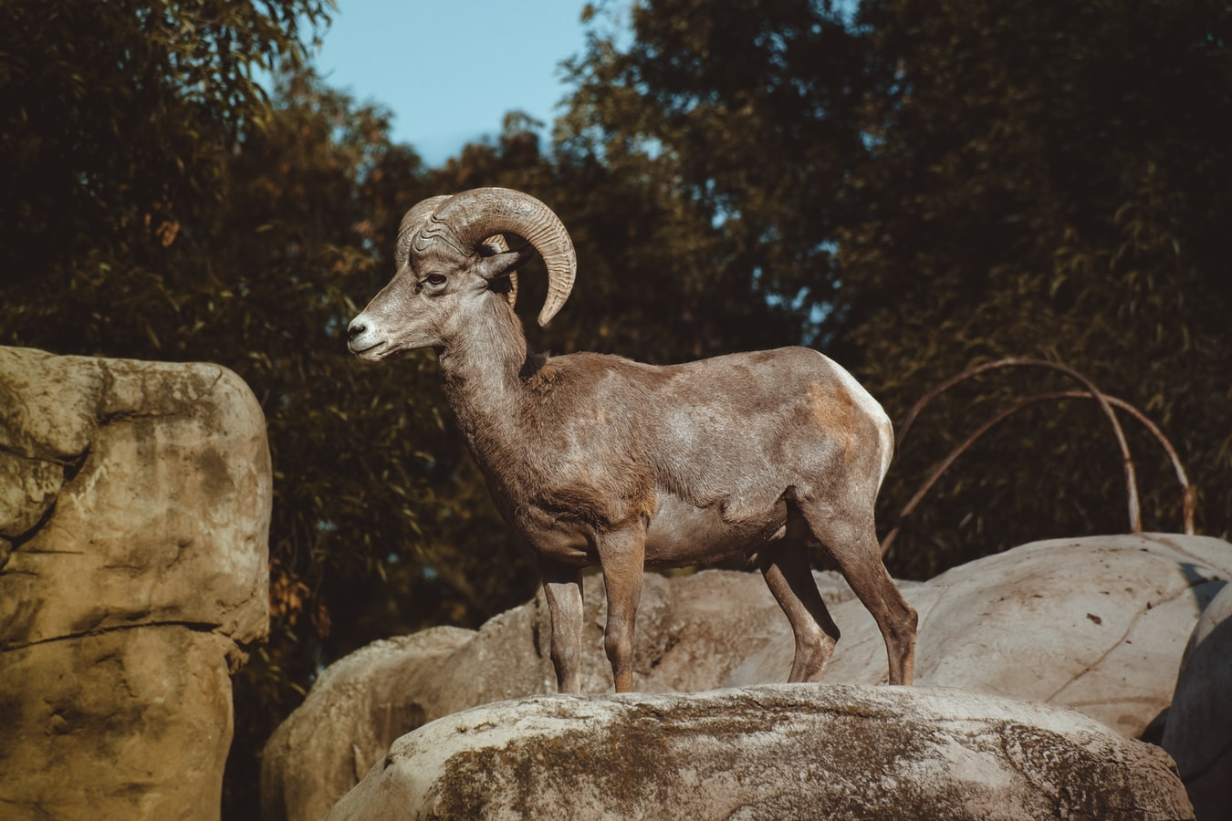 Is Ungulate Migration Culturally Transmitted?