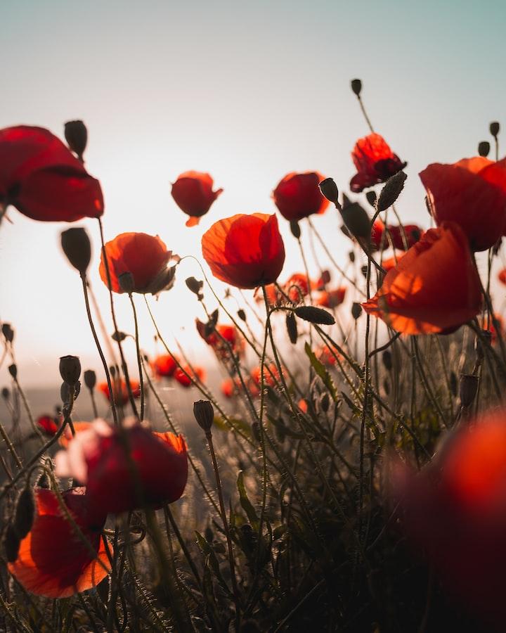 Flanders field WW1 poem.