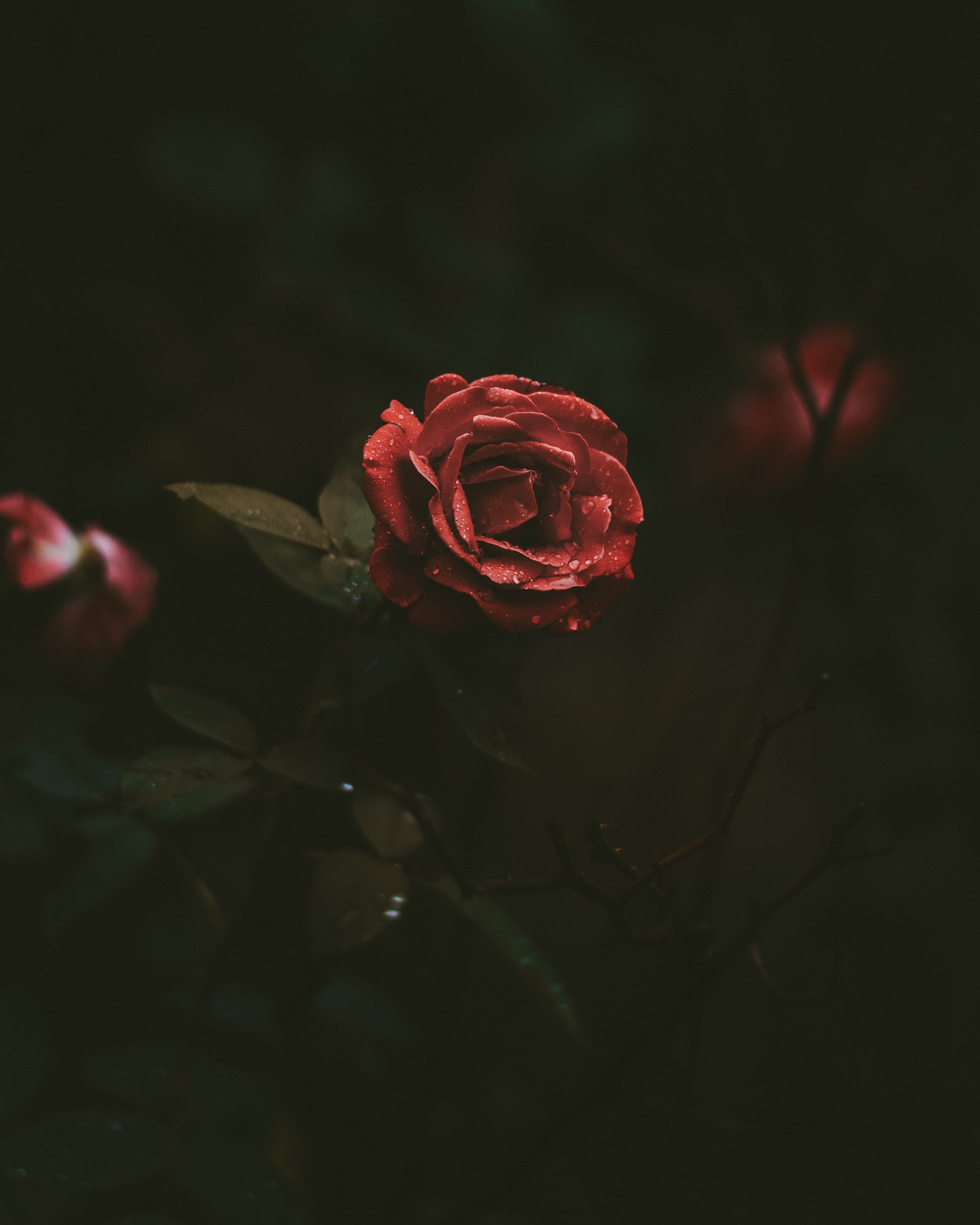 selective-focus photography of red rose blooming