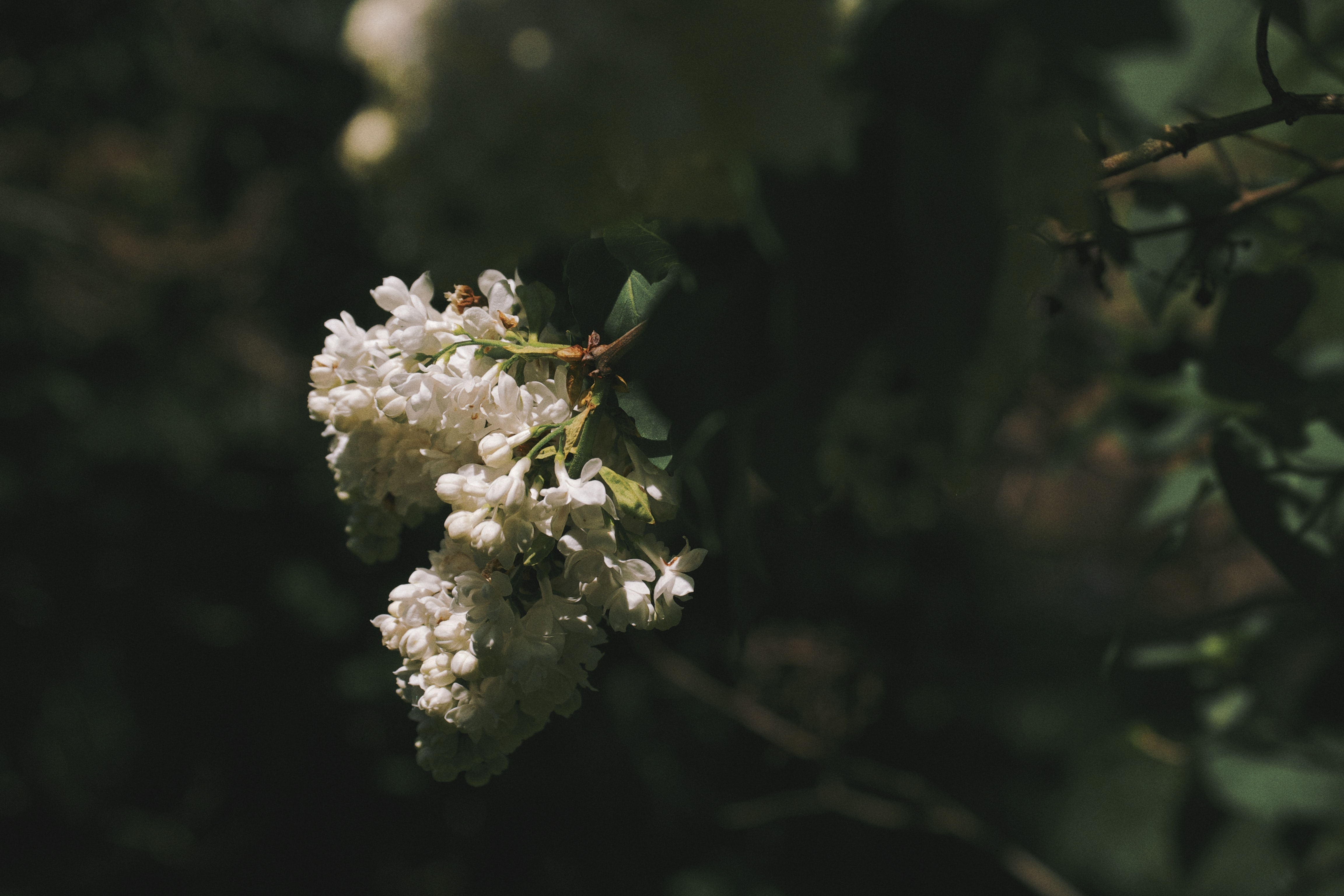 A cluster of white lilac flowers in a dark thicket