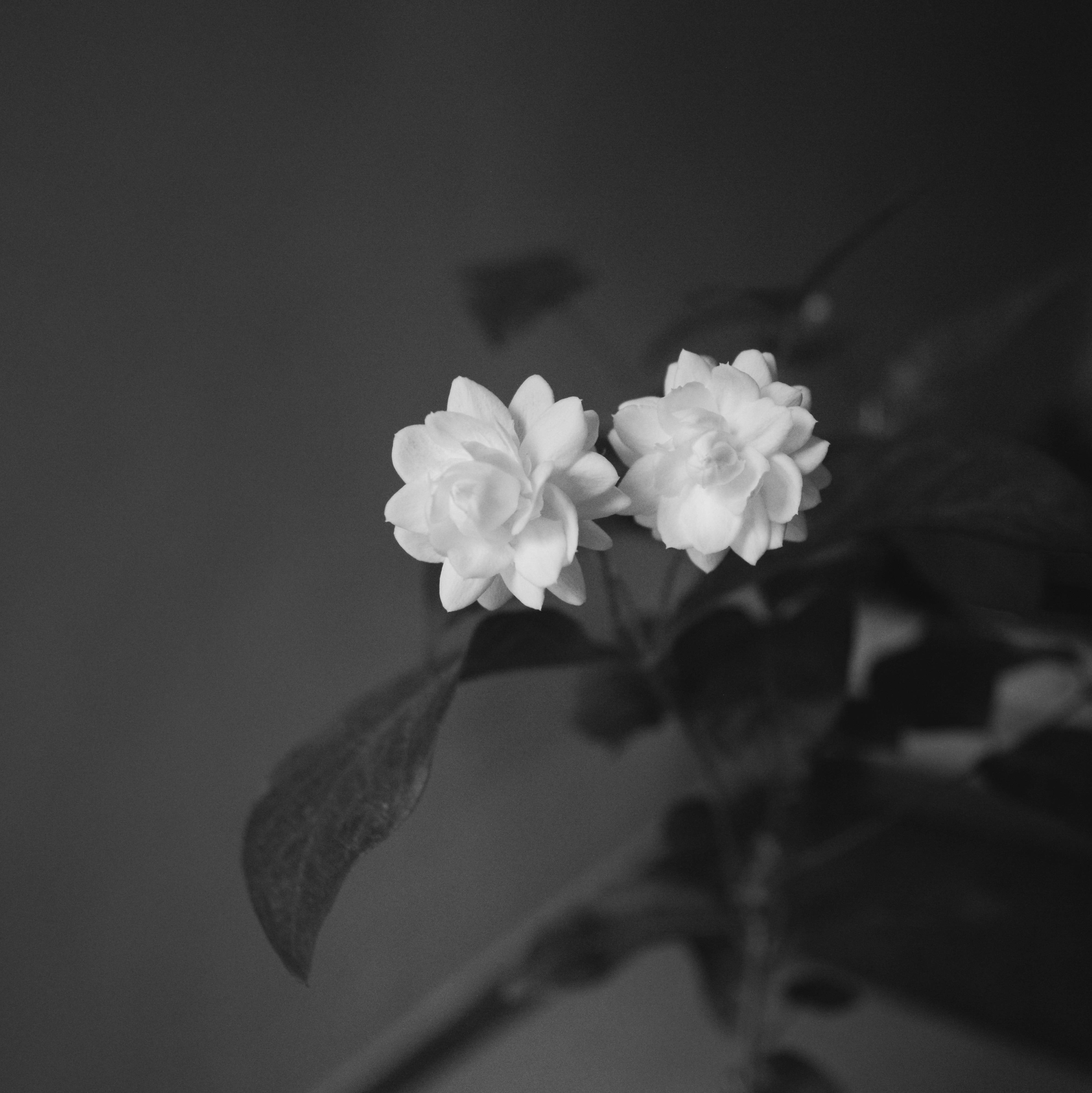 grayscale photo of two white clustered flowers