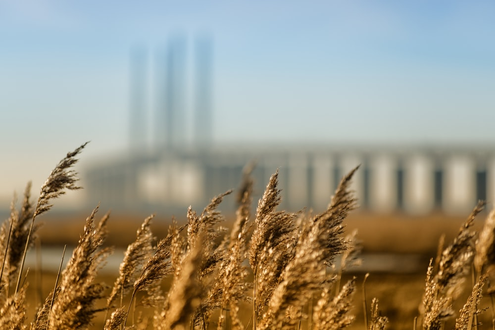 tilt shift lens photography of rice field
