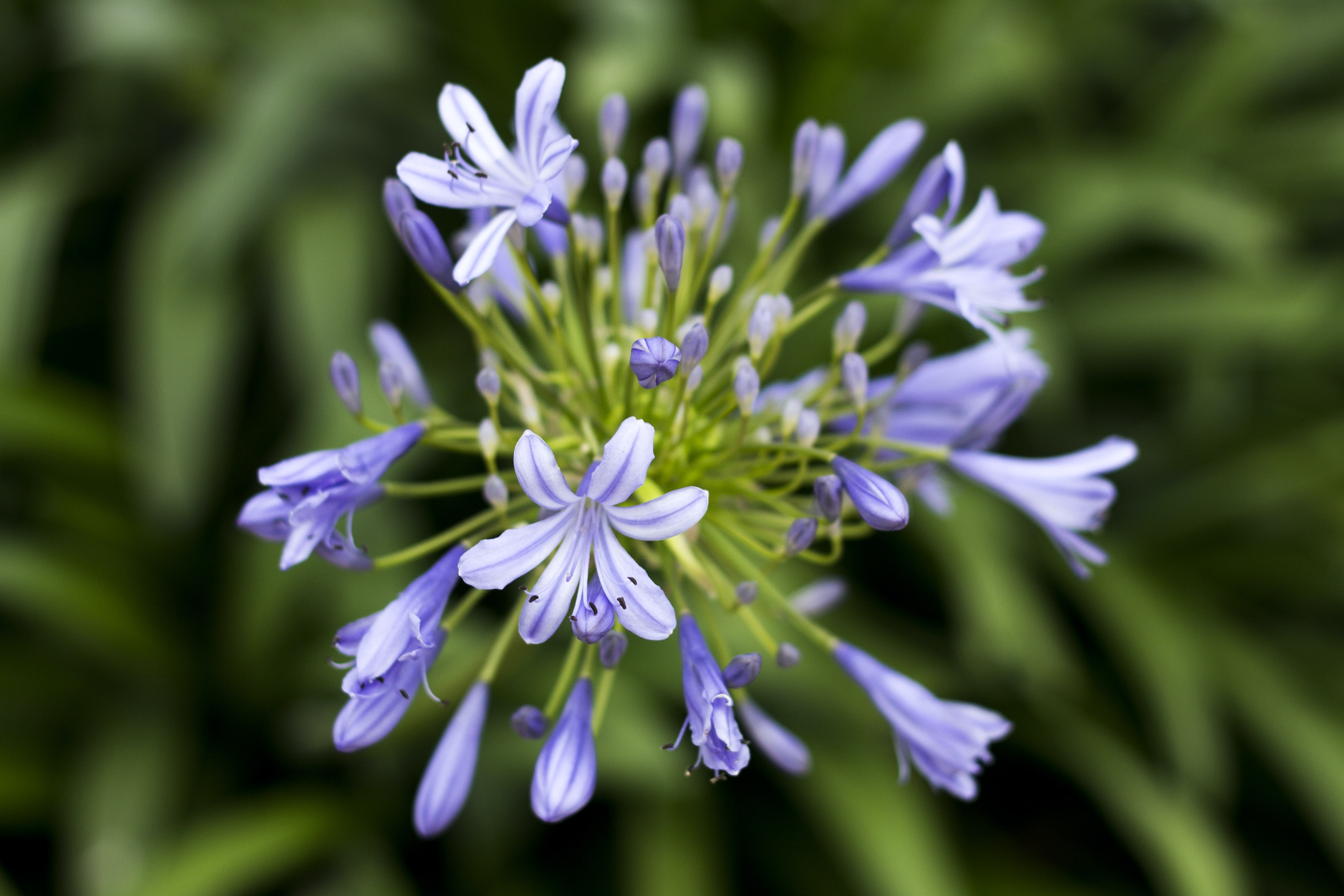 Close-up of violet lily of the Nile flowers