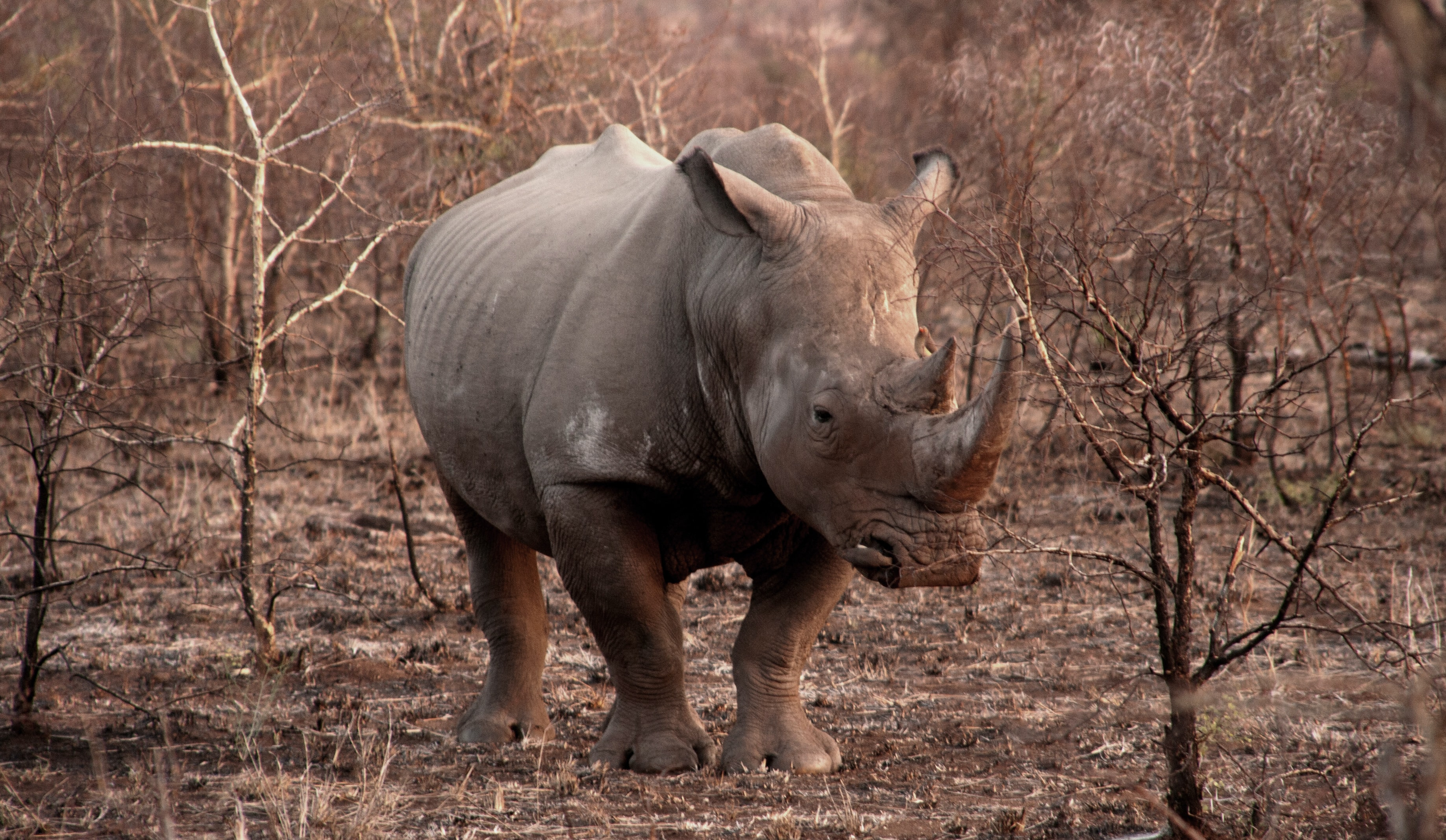 Rhinocerous beside leafless trees at dusk