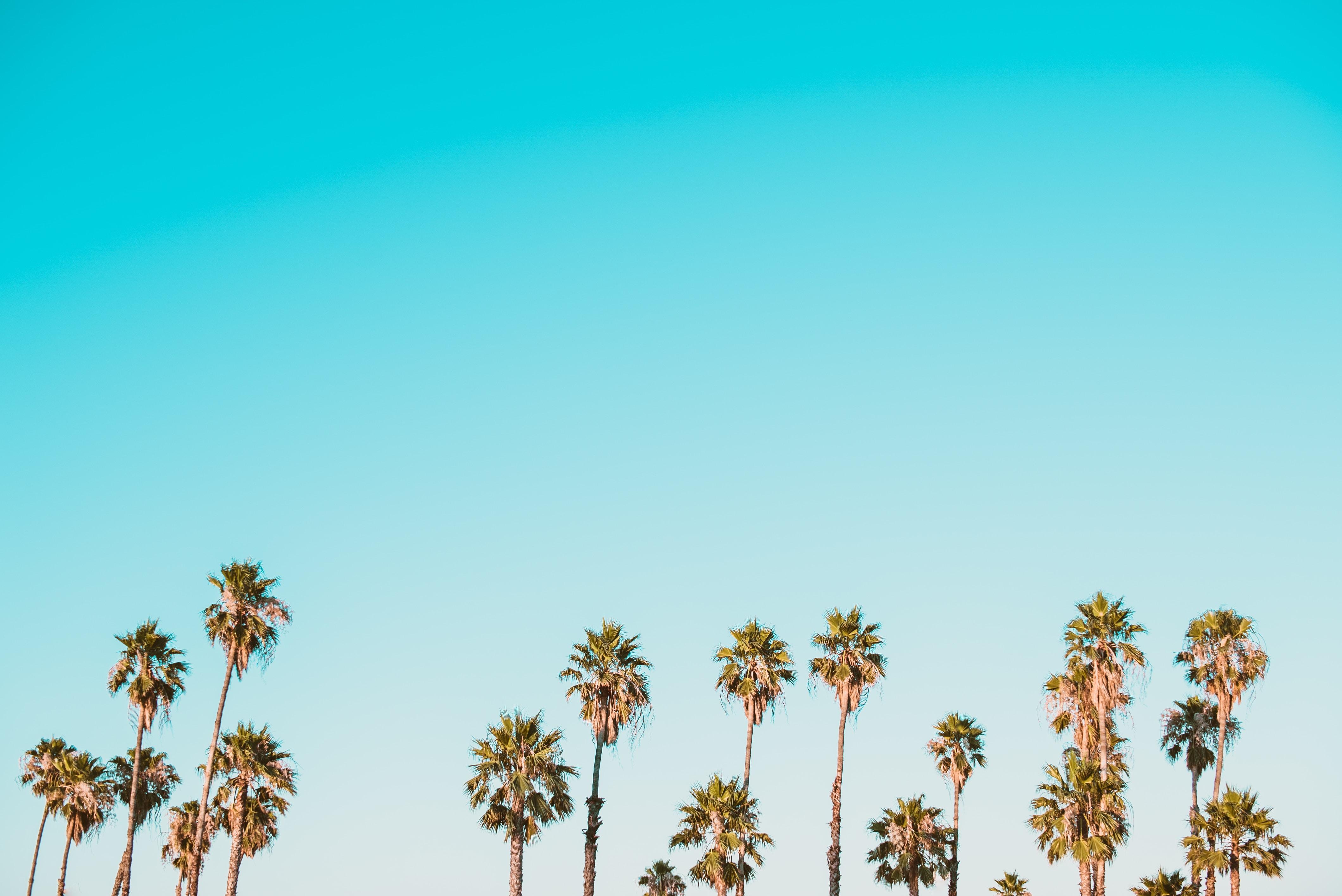 Tall palm trees against  a light blue sky