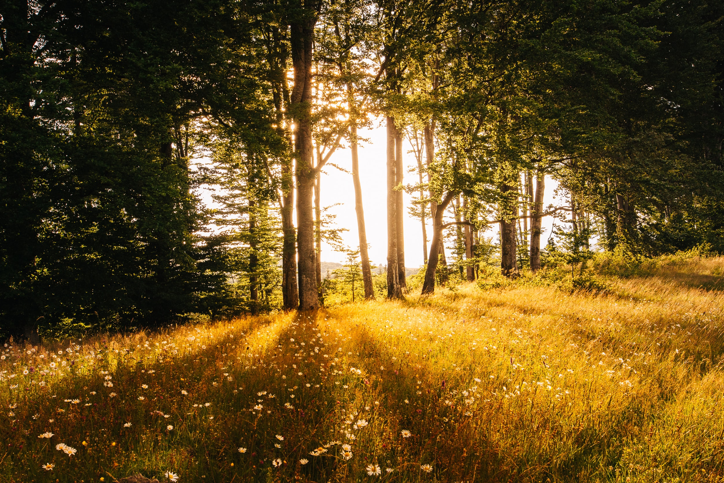 A copse of trees near a meadow during the golden hours