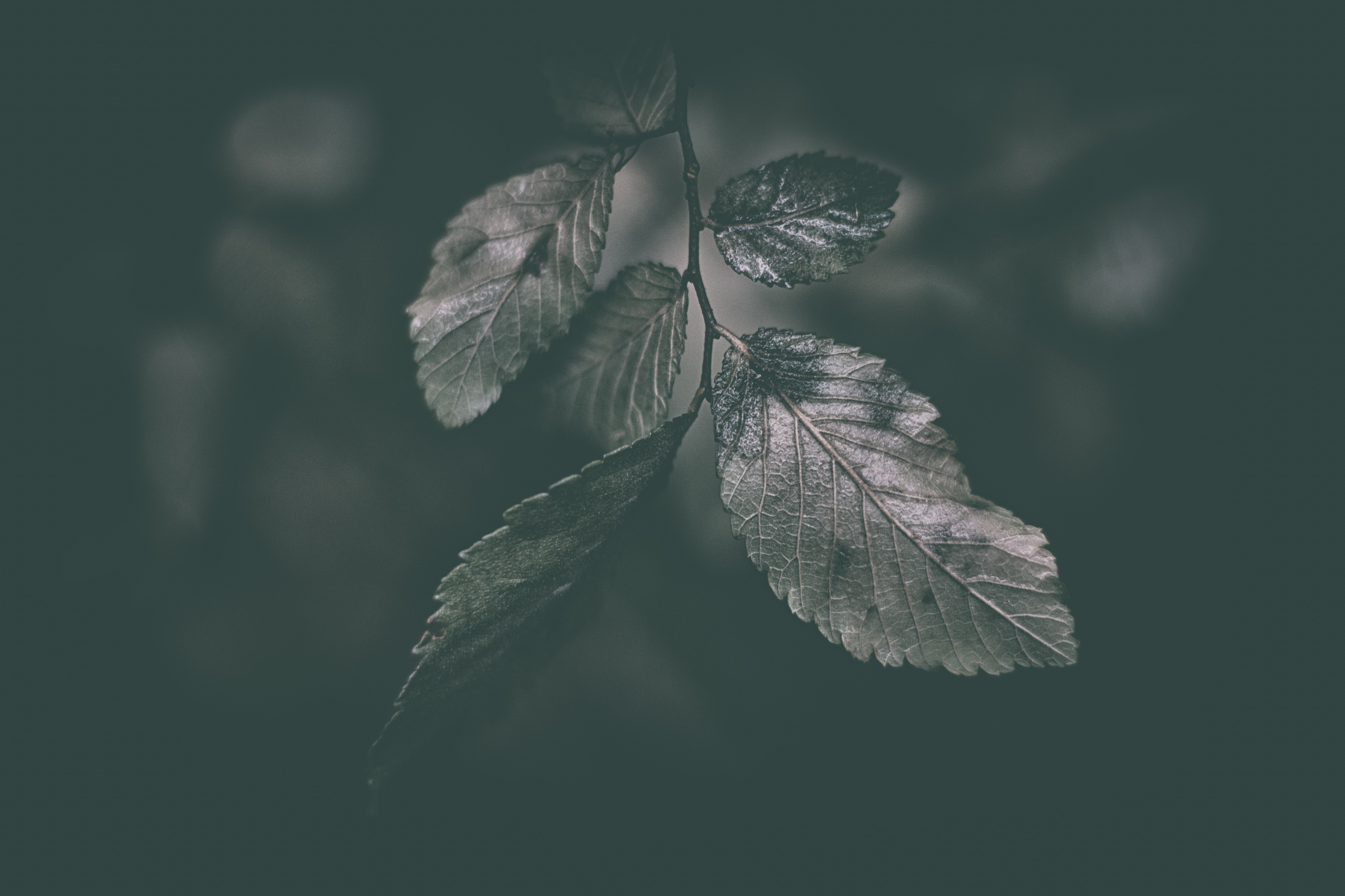 gray leafed plant