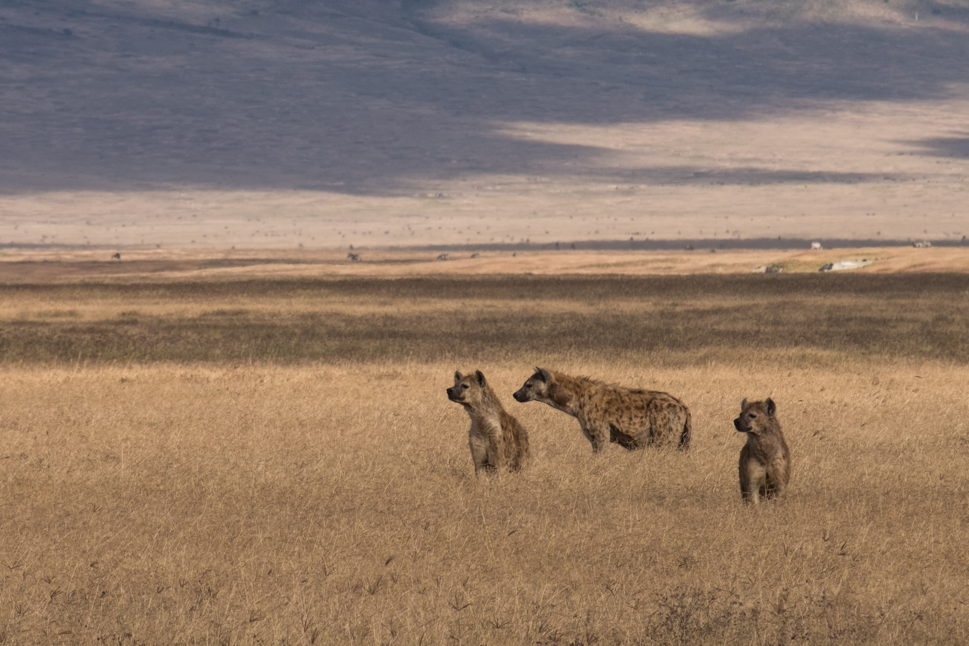 three hyenas on brown field under blue sky