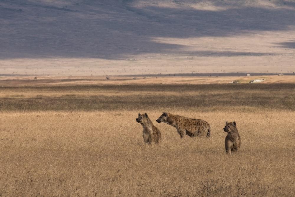three hyenas on brown field under blue sky