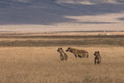 three hyenas on brown field under blue sky tanzania zoom background