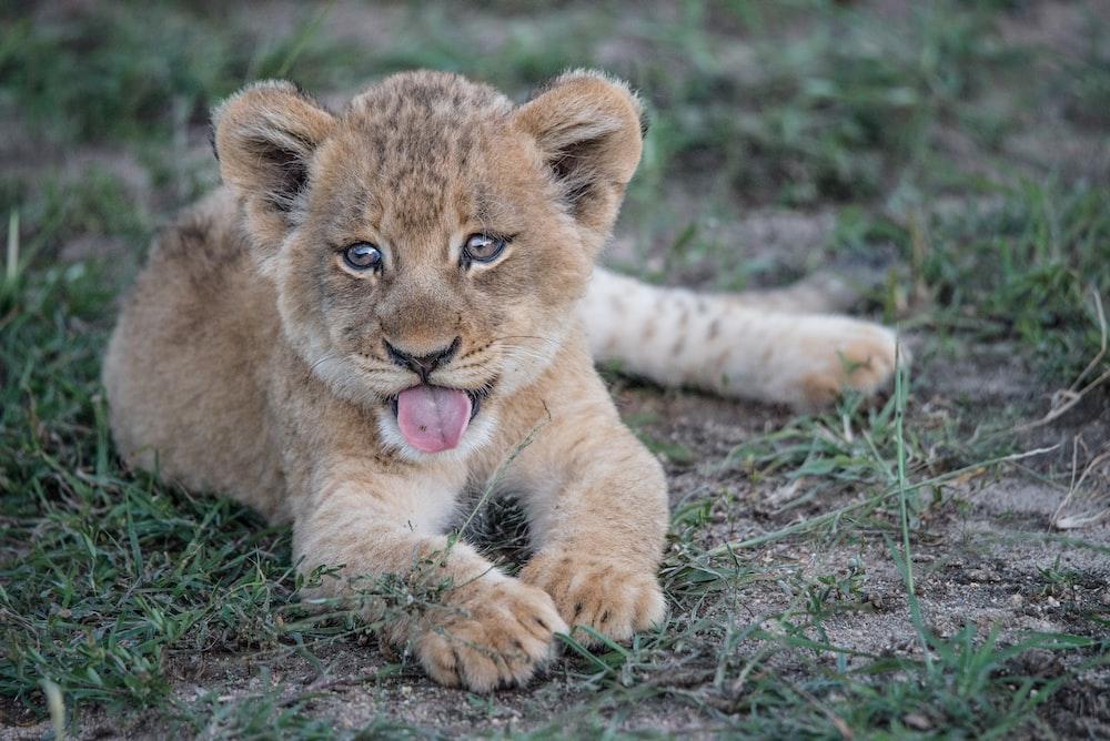 short-fur brown lion cub lying on green grass plant
