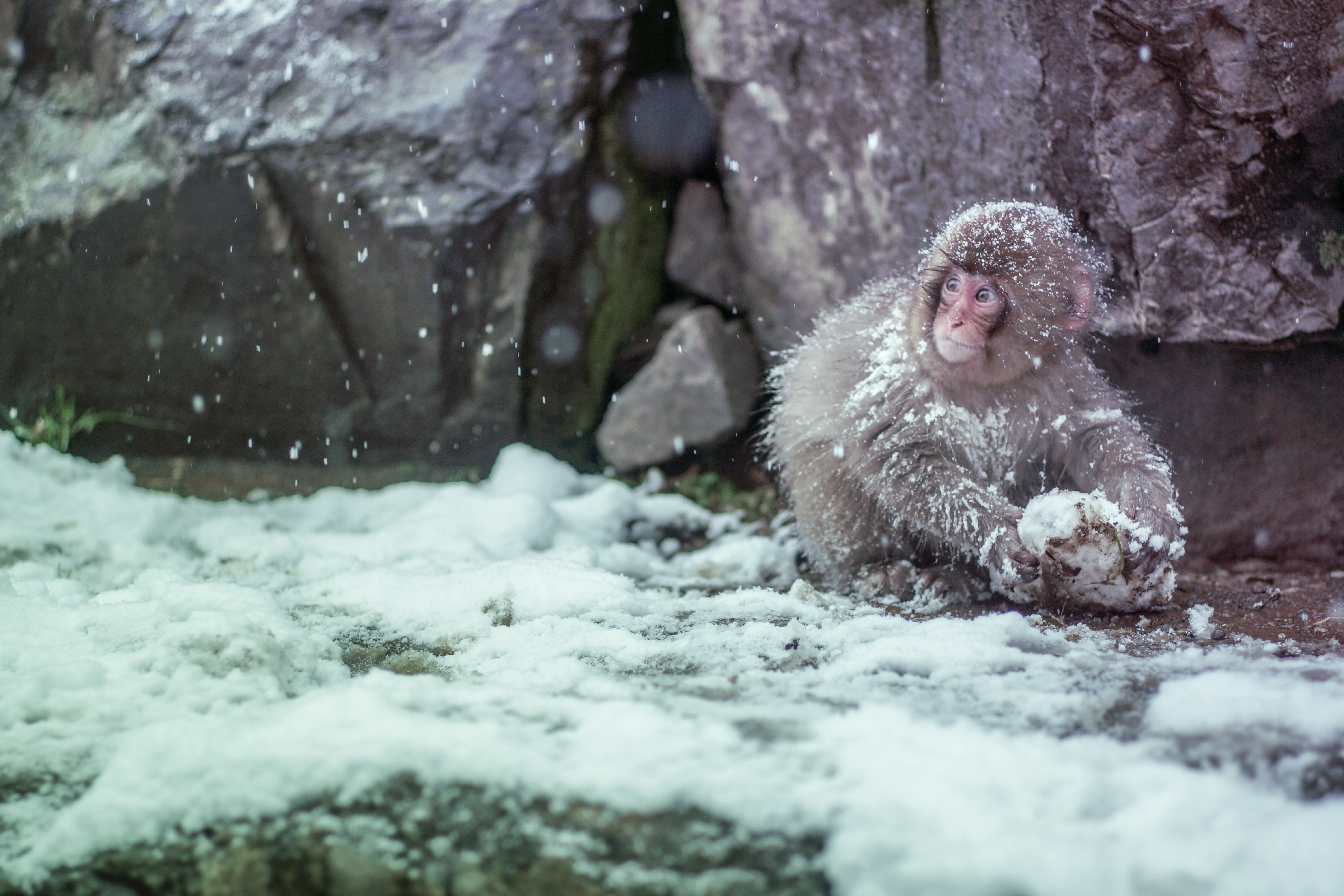 A monkey playing with a stone in the snow around a rock mountain in Nagano