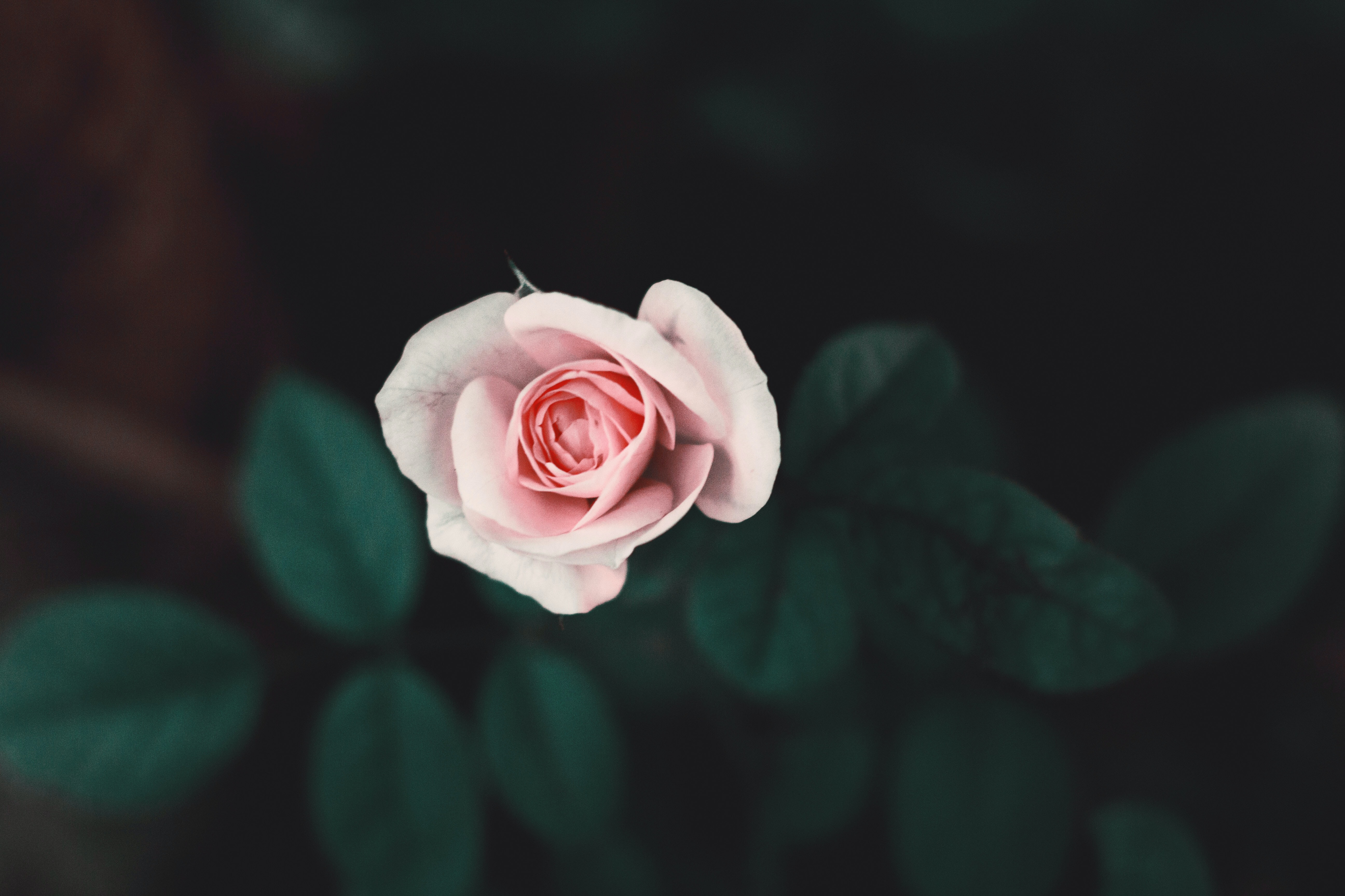 focus photo of pink rose flower