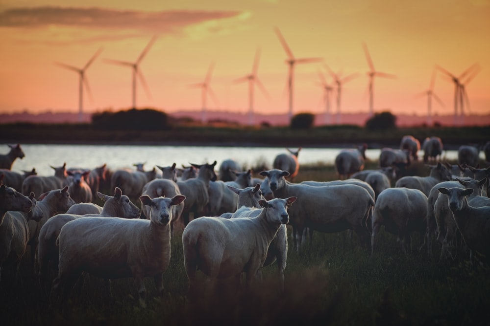 gray animals with windmill background
