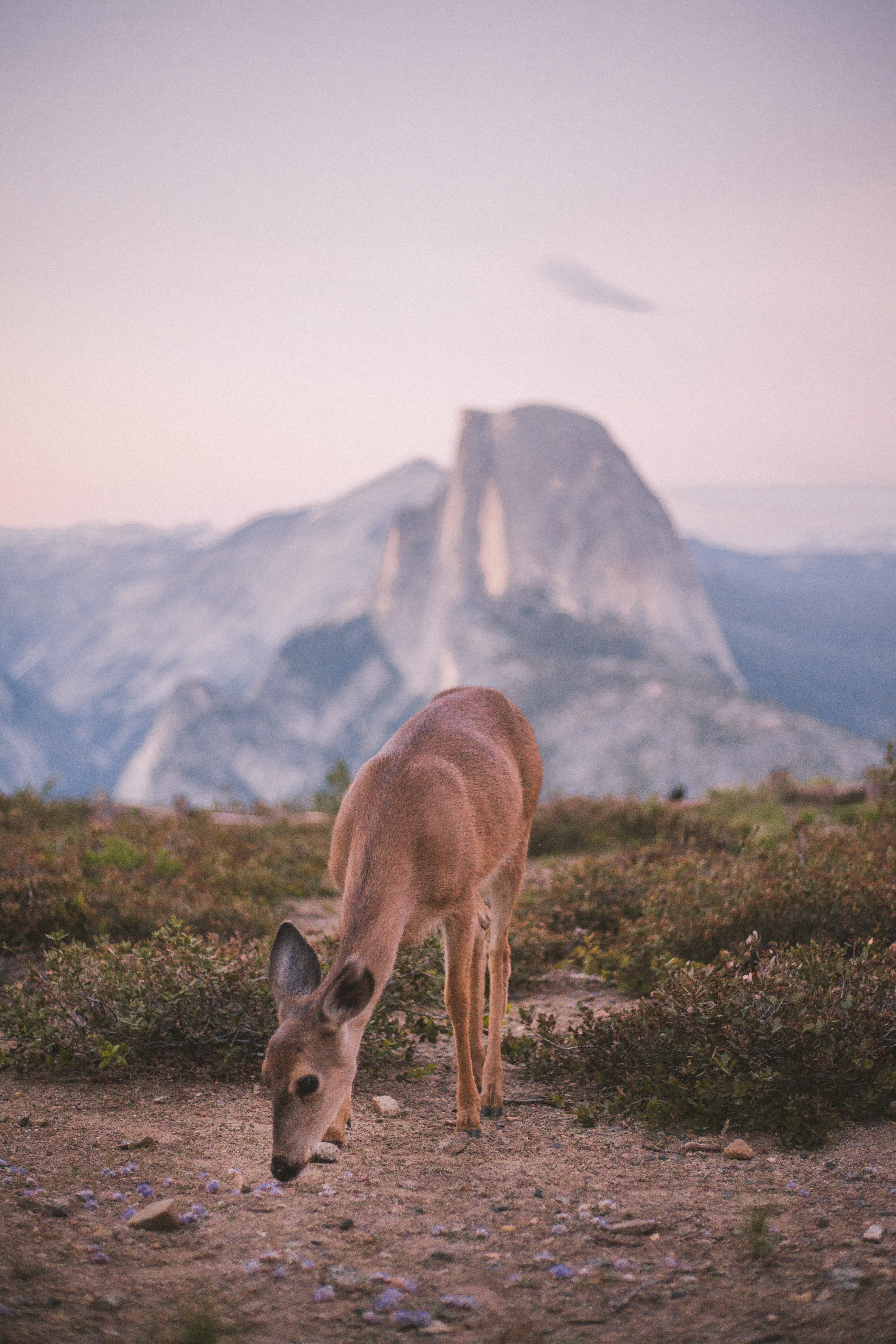 A deer grazing in a field with a mountain in the distance in Yosemite National Park