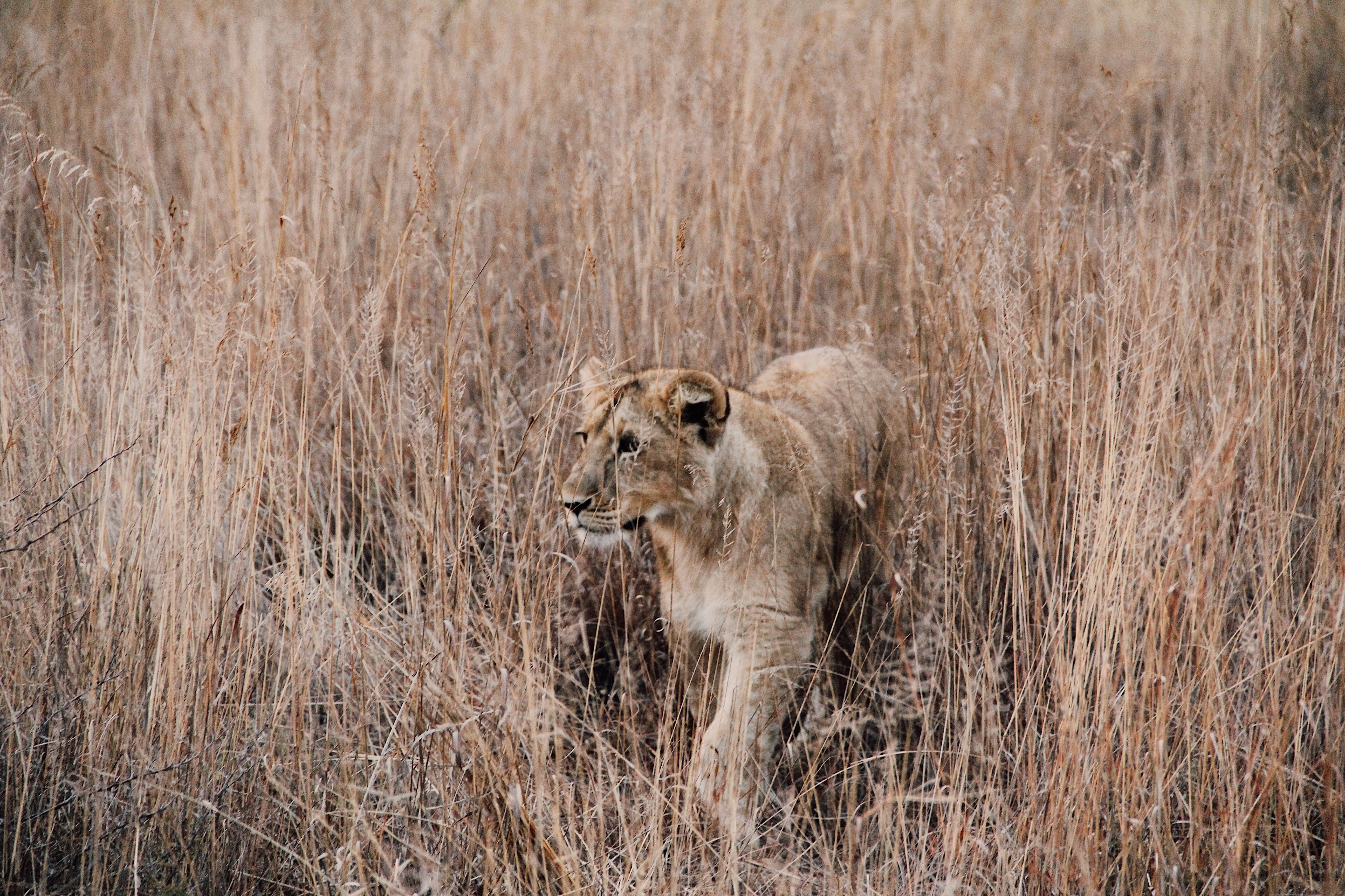 A lioness prowling in tall dry grass