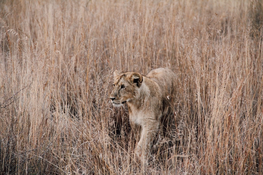 gray and brown lion surrounded by brown grass