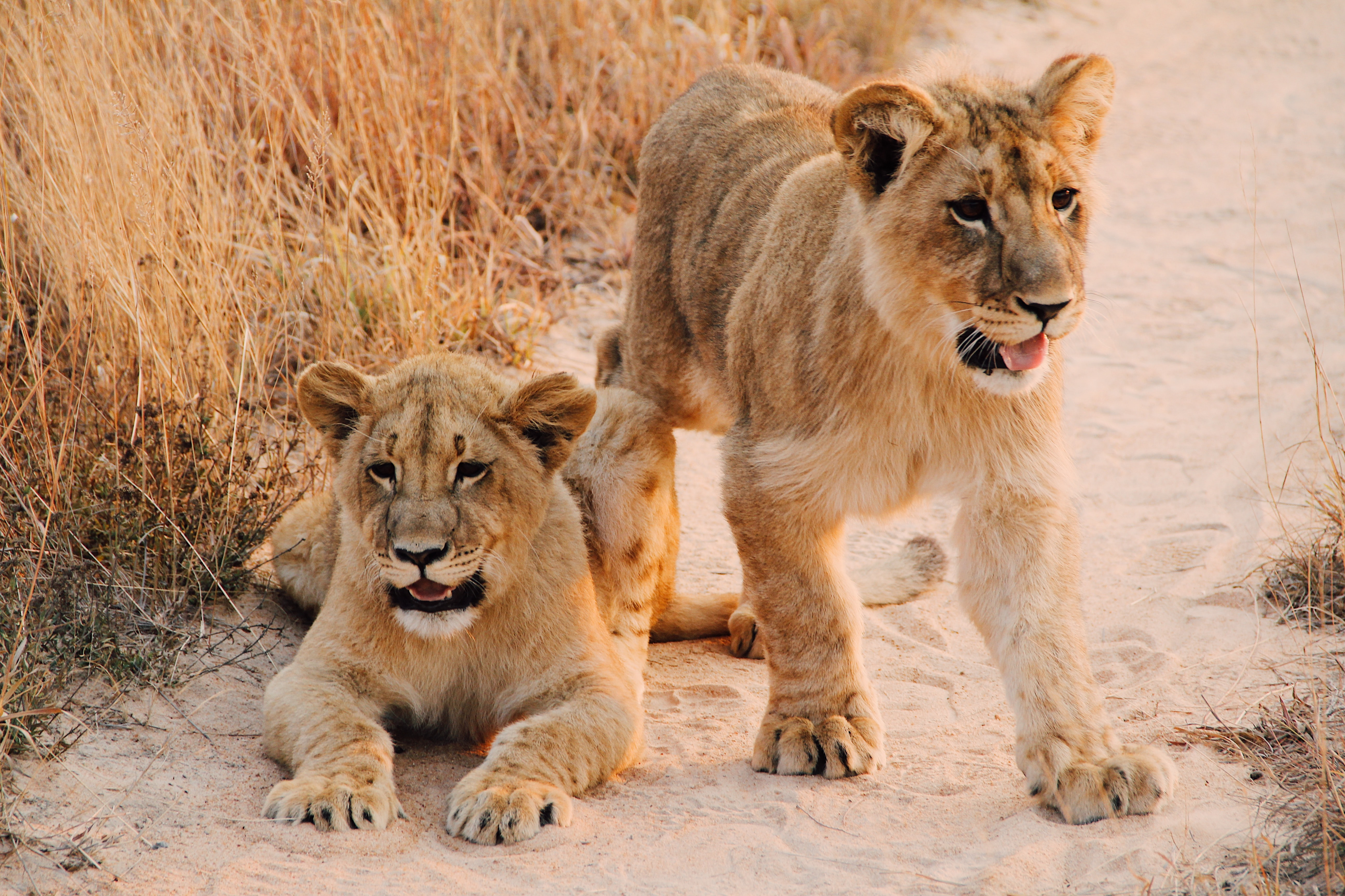 two lion cab on brown sand road between of dried grass during daytime