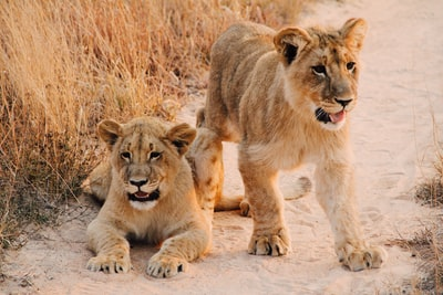 two lion cab on brown sand road between of dried grass during daytime zimbabwe zoom background