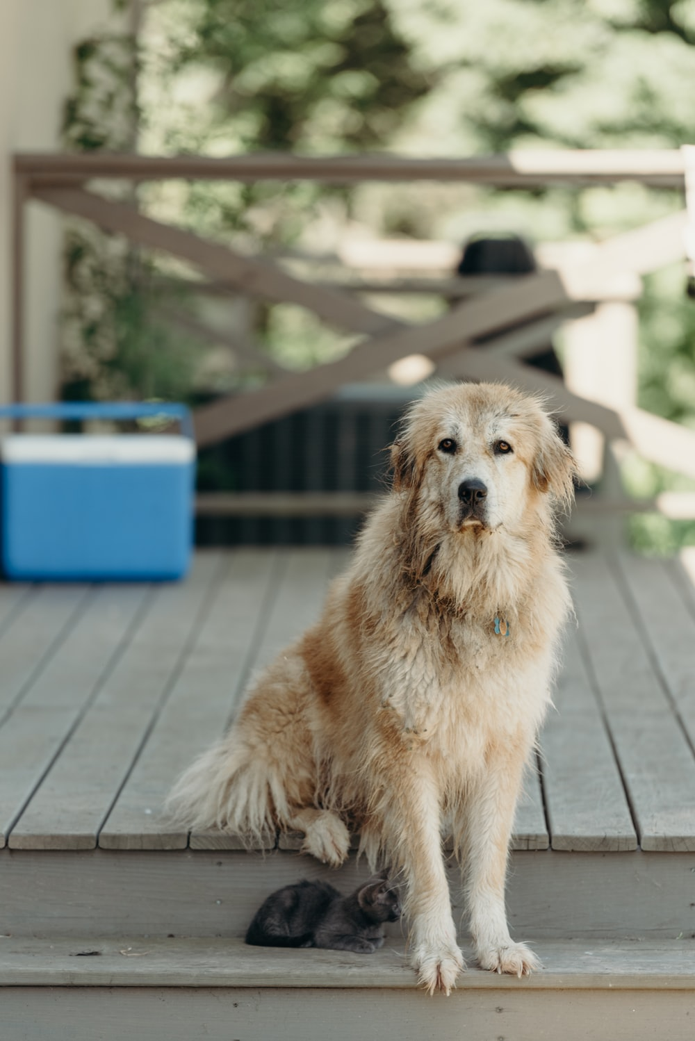 selective focus photo of long-coated brown dog sitting on brown wooden stairs