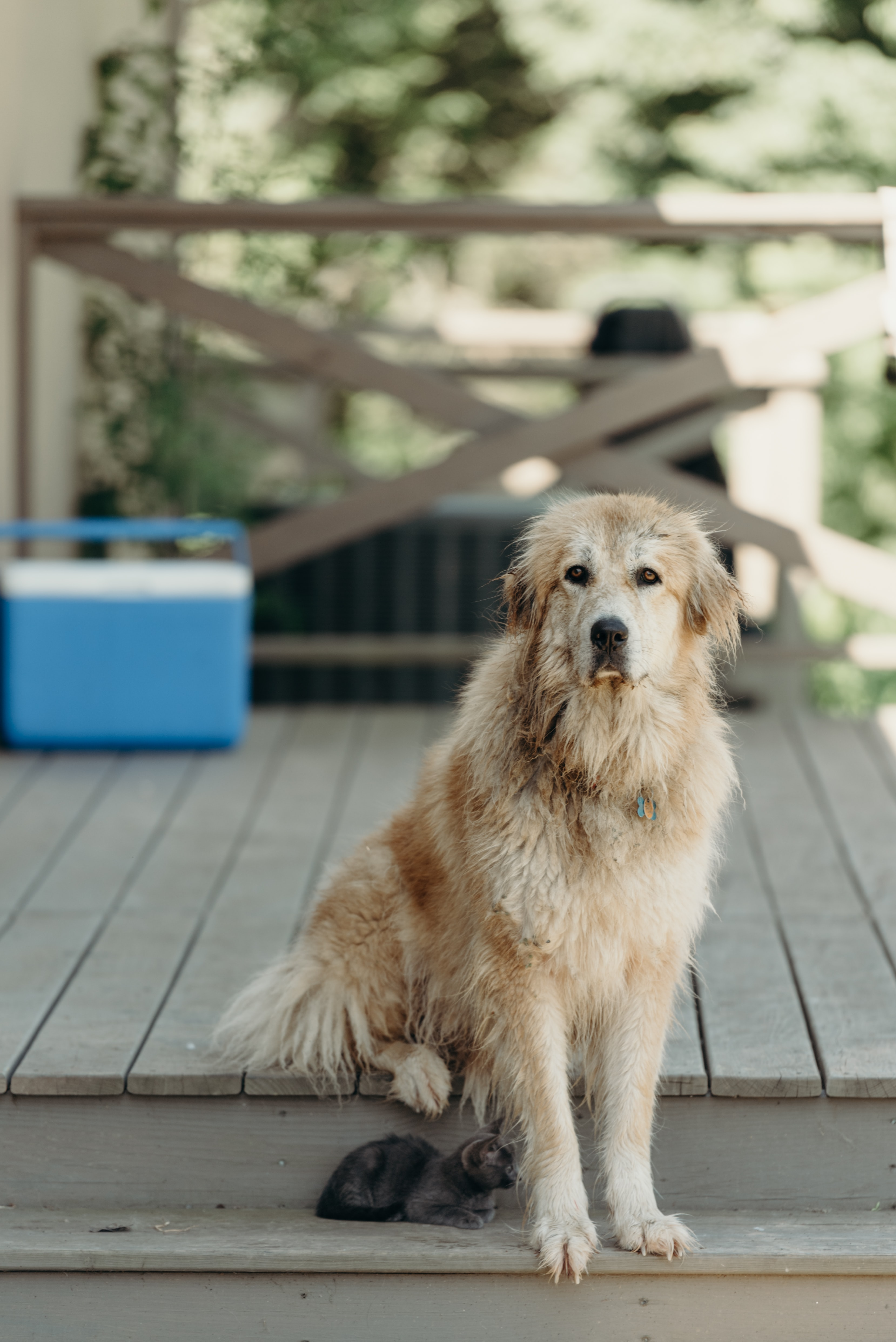 Scruffy wet dog sits on a deck by a small kitten