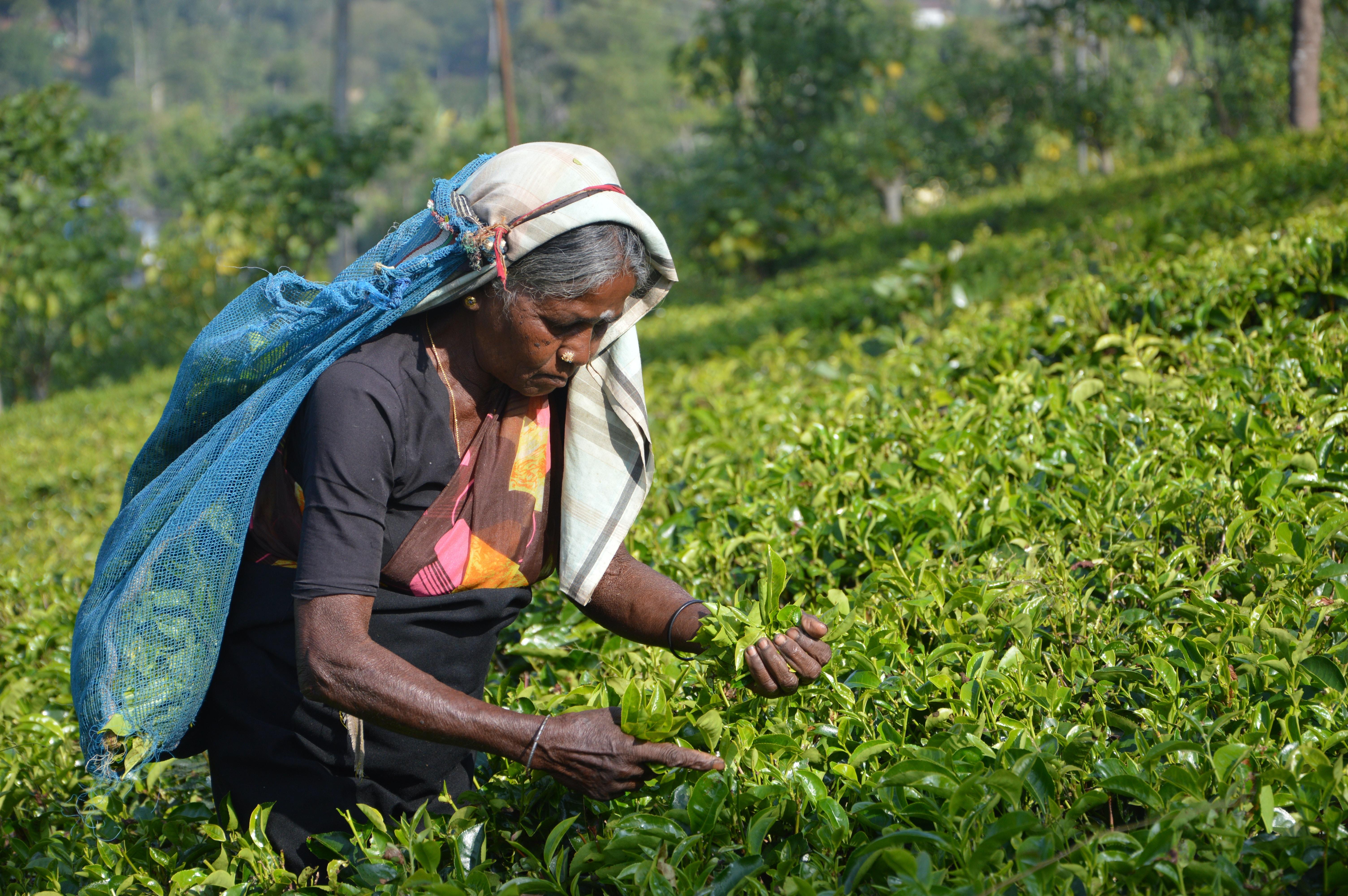 A female farmer handpicking tea leaves at the Tea Research Institute of Sri Lanka