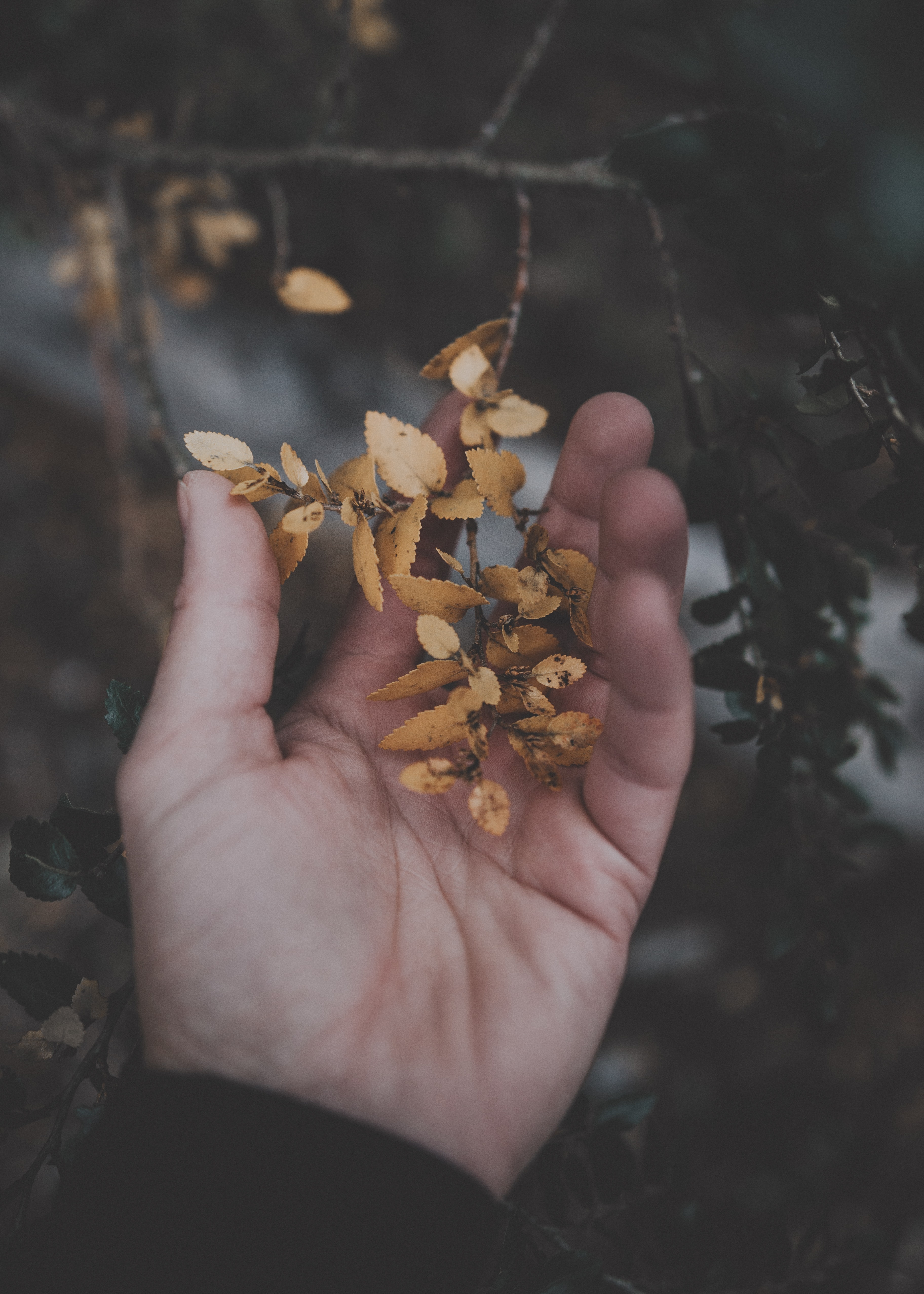 person holding brown leaves