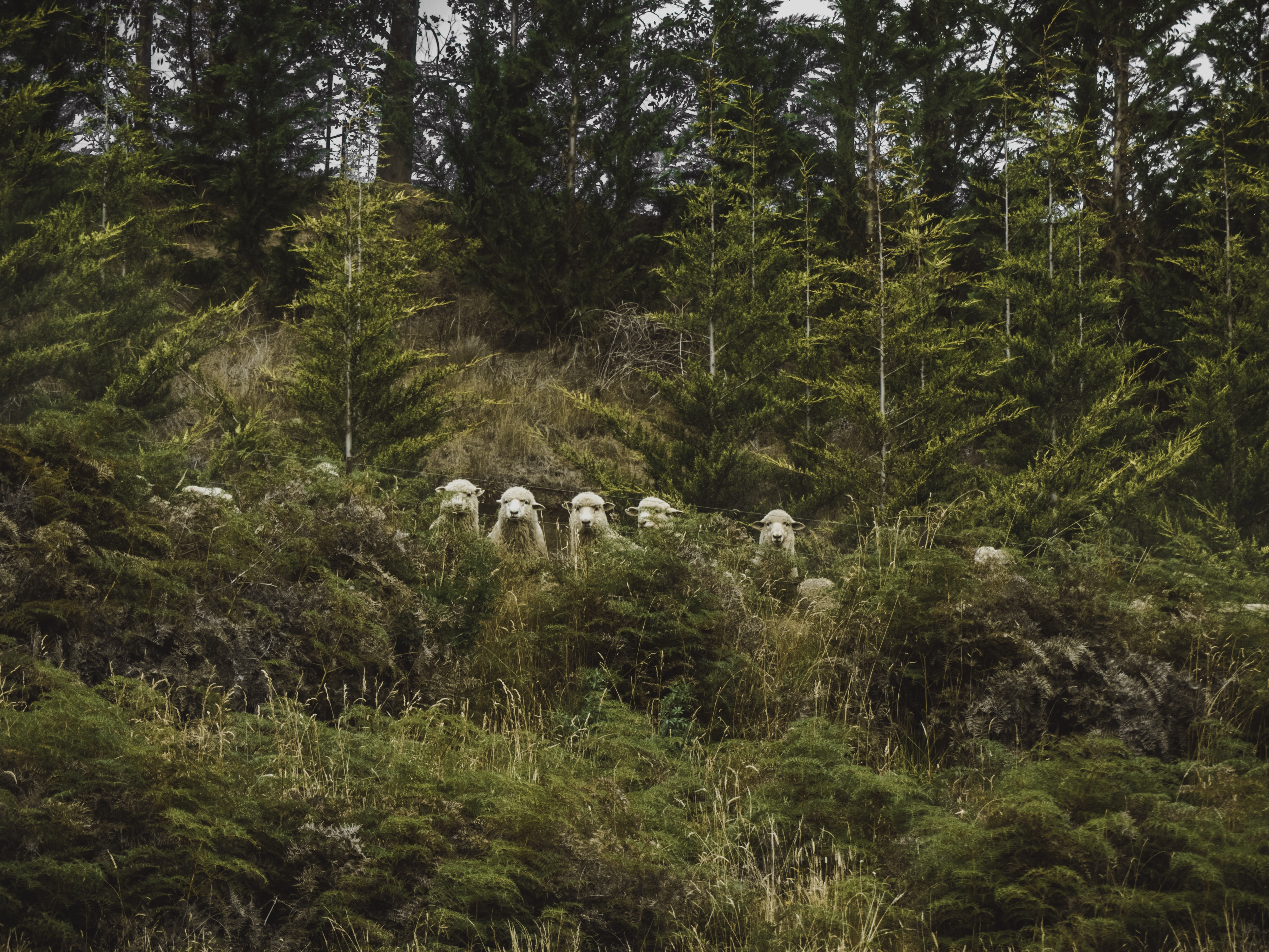A herd of sheep standing in a row behind green bushes
